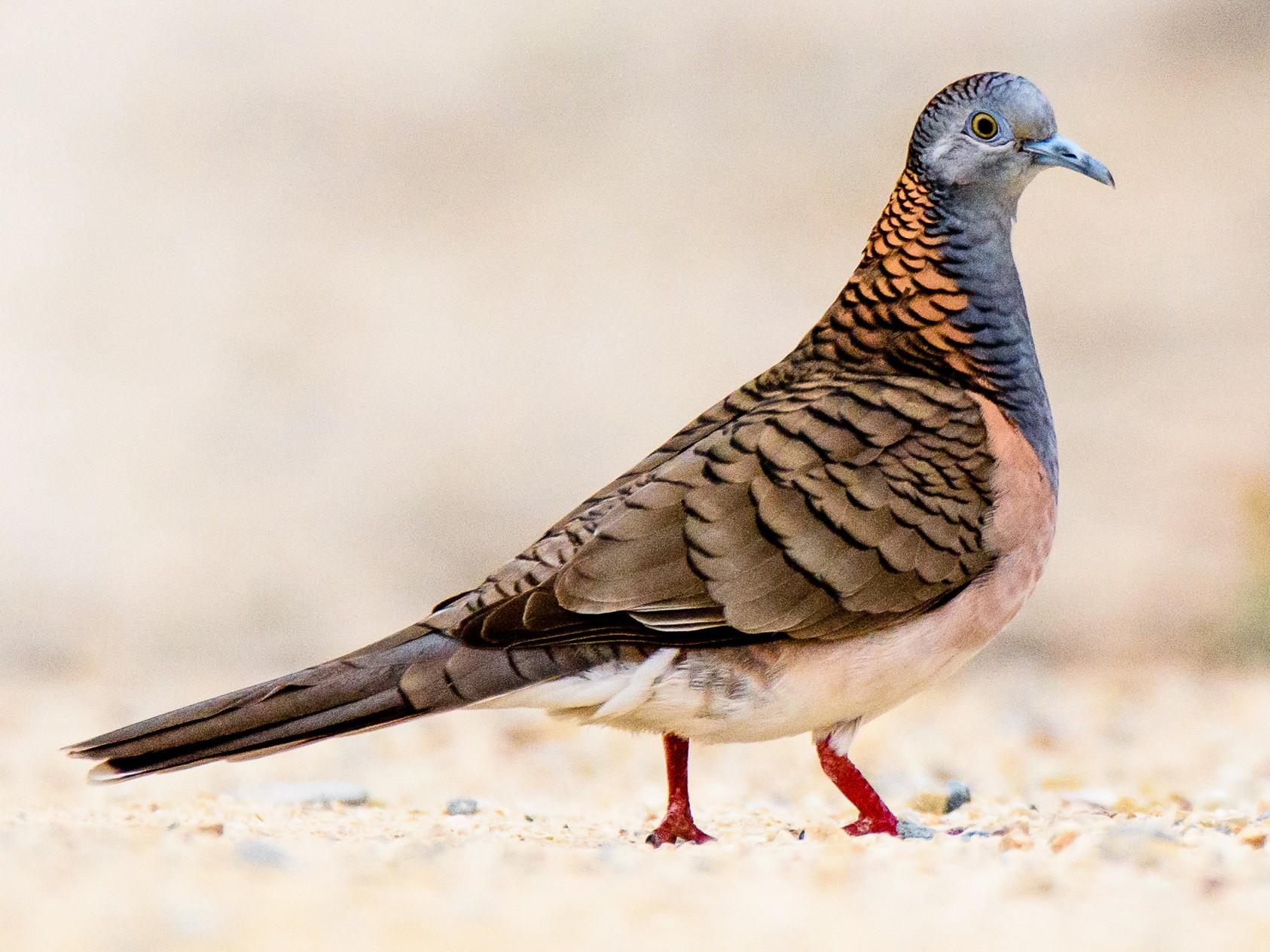 Bar-shouldered Dove - Adam Higgins