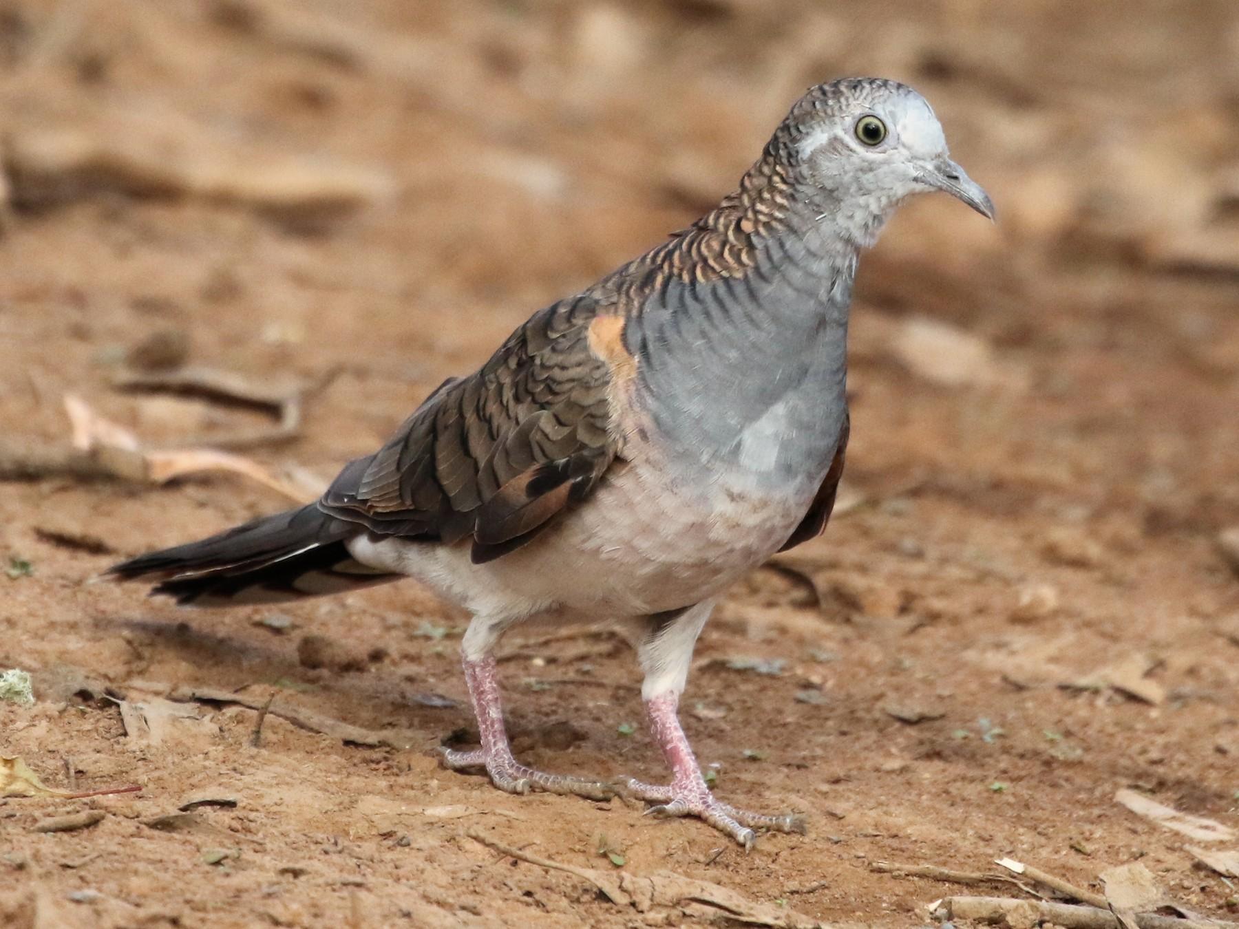 Bar-shouldered Dove - David Ongley