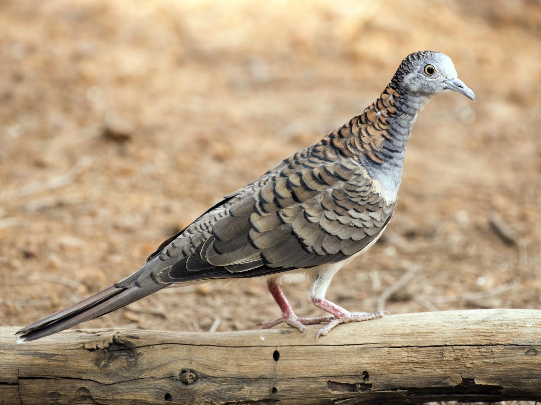 Bar-shouldered Dove - David King
