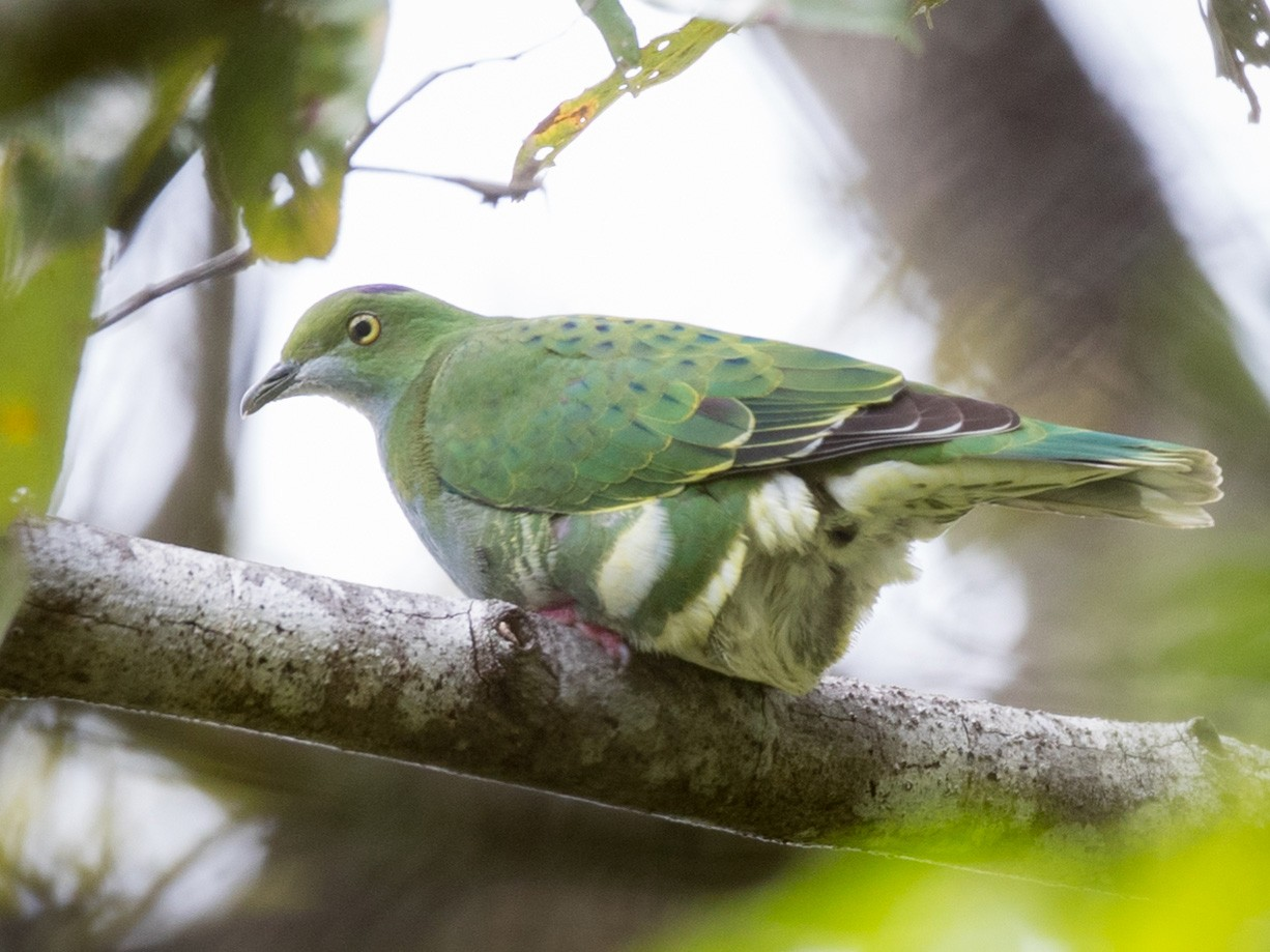 Superb Fruit-Dove - Ian Davies