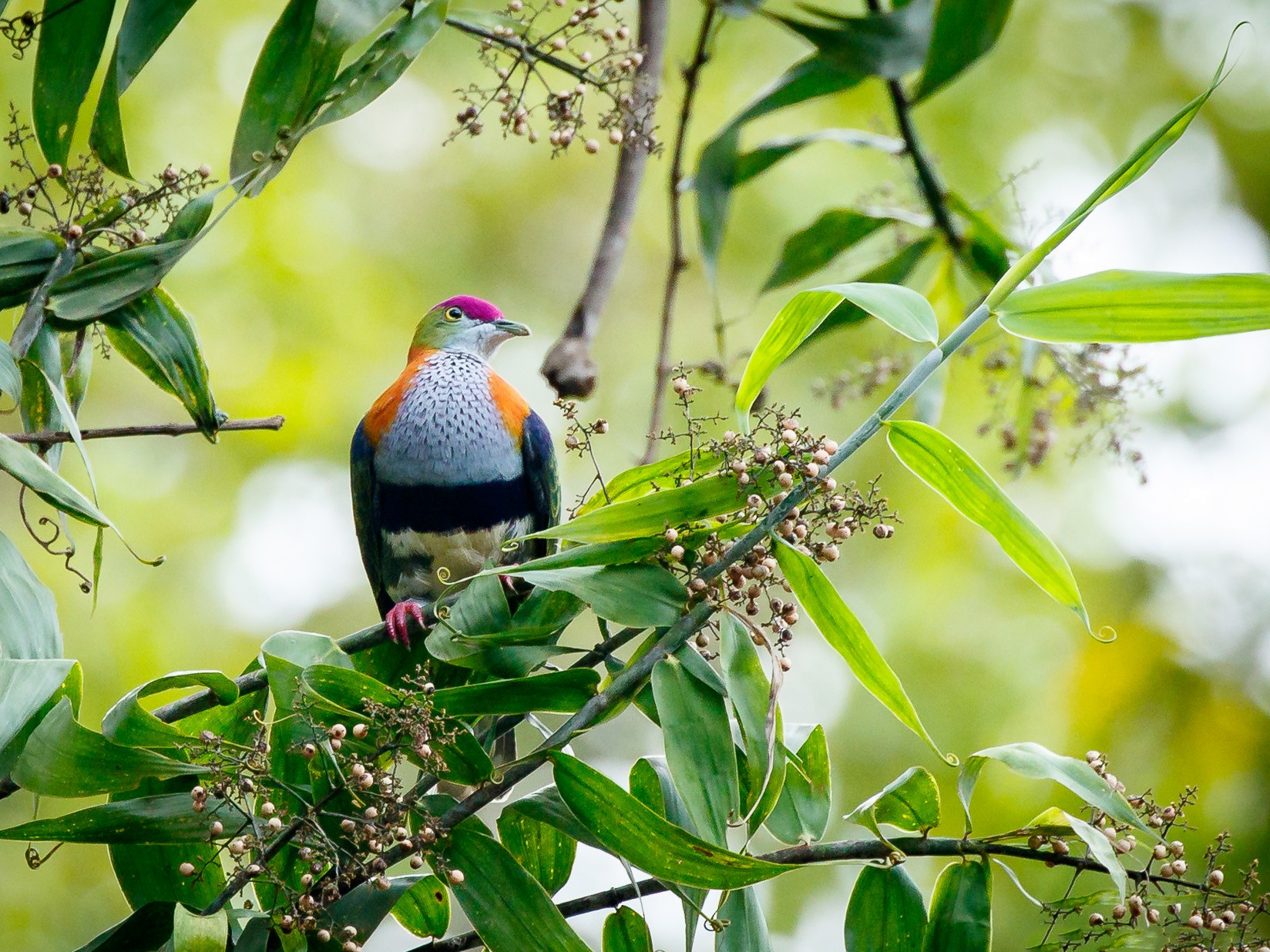 Superb Fruit-Dove - Luke Shelley