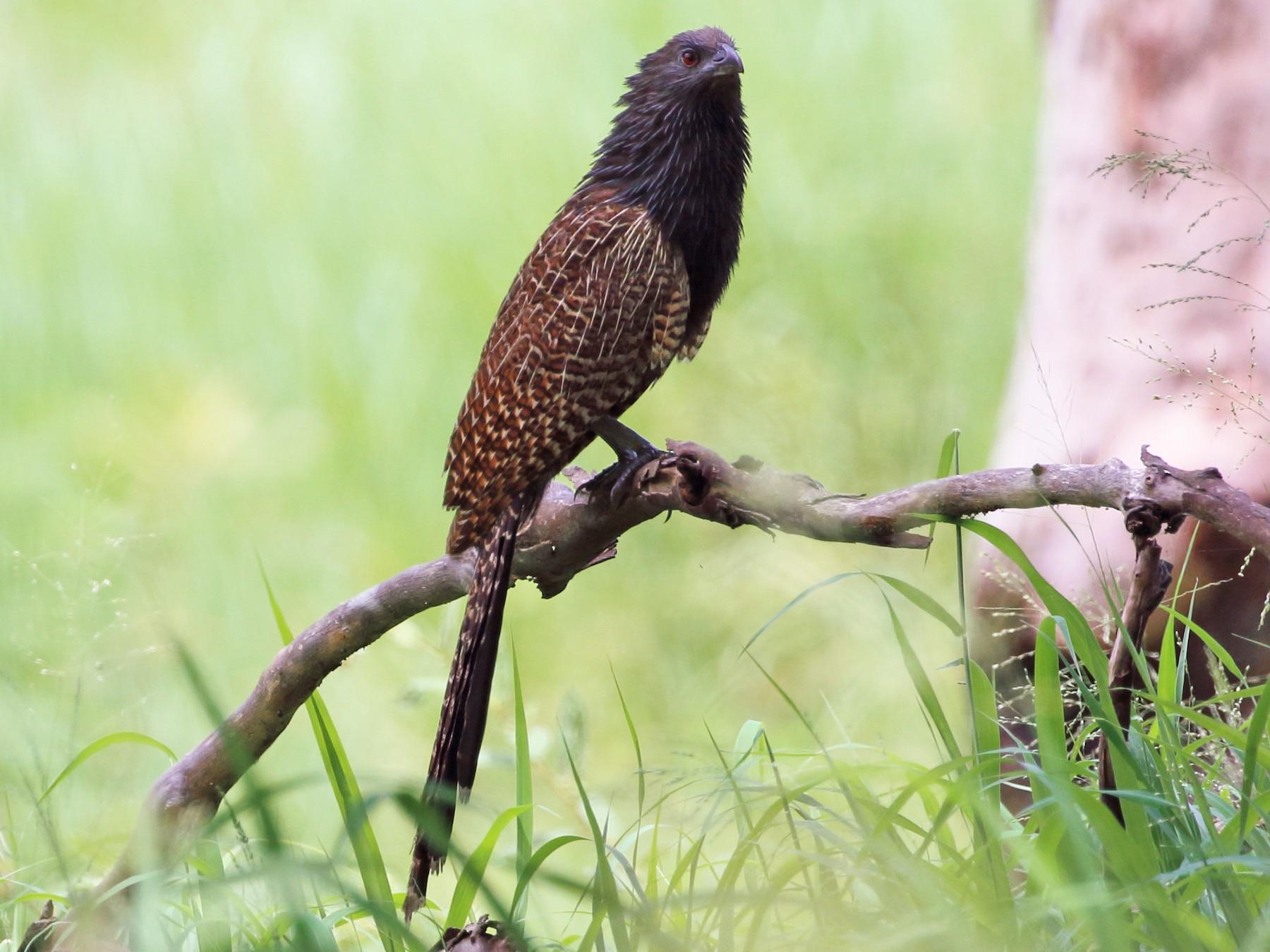 Pheasant Coucal - Richard Fuller