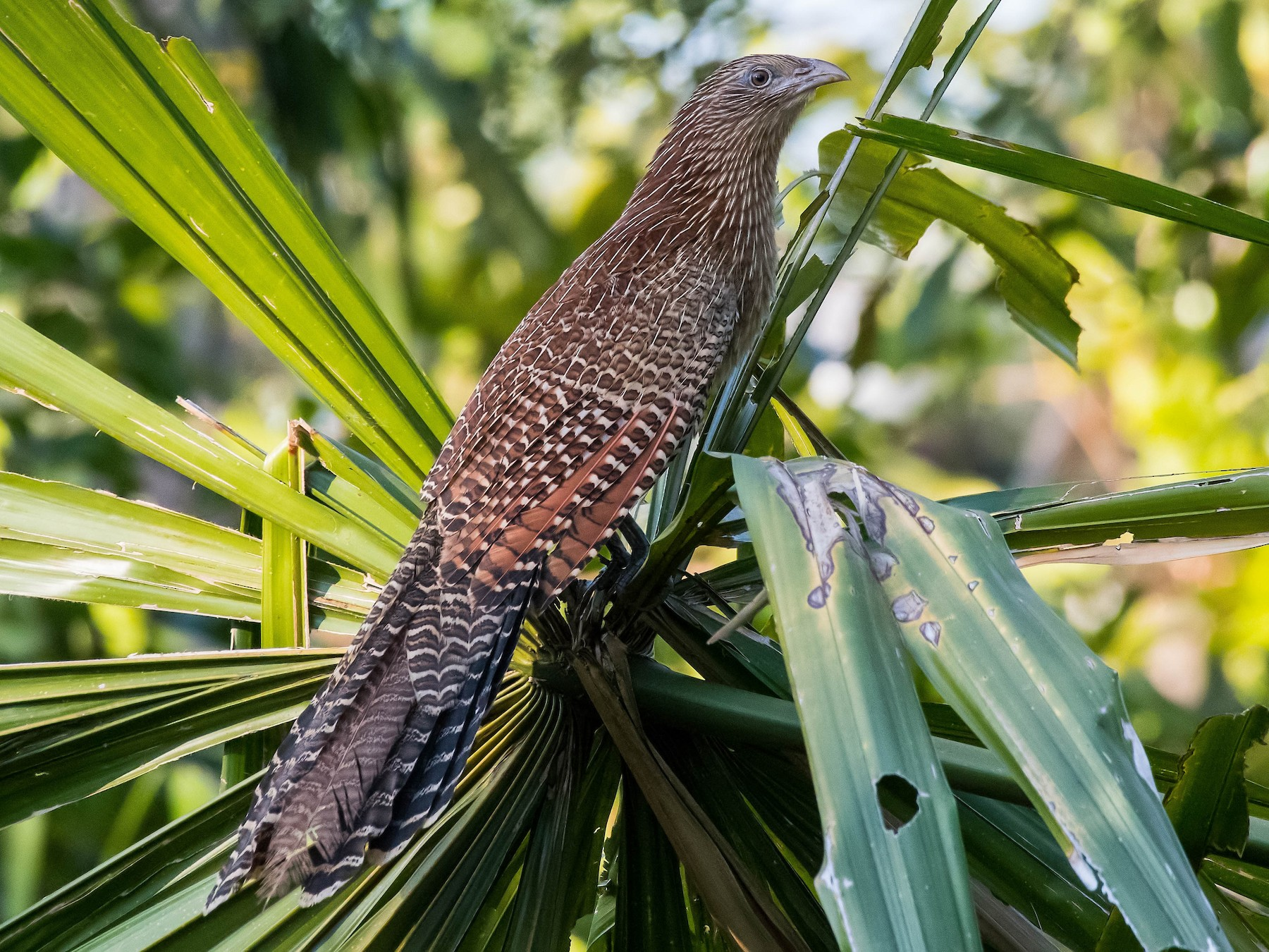 Pheasant Coucal - Terence Alexander