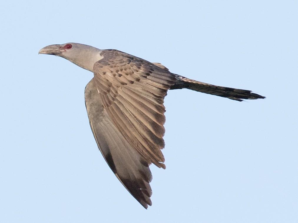 Channel-billed Cuckoo - Ian Davies