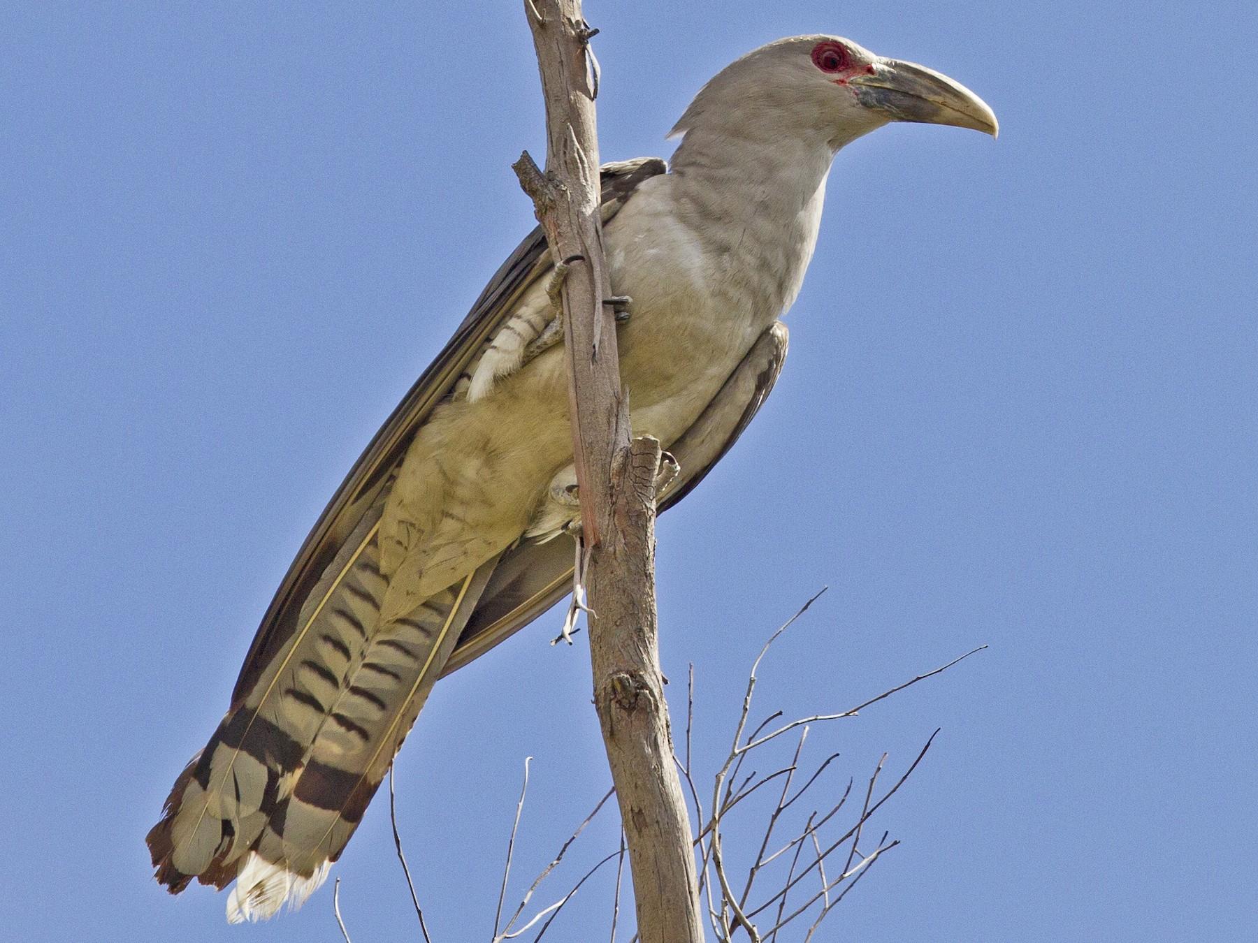 Channel-billed Cuckoo - Mat Gilfedder