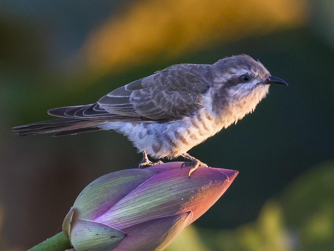 Horsfield's Bronze-Cuckoo - Mat Gilfedder