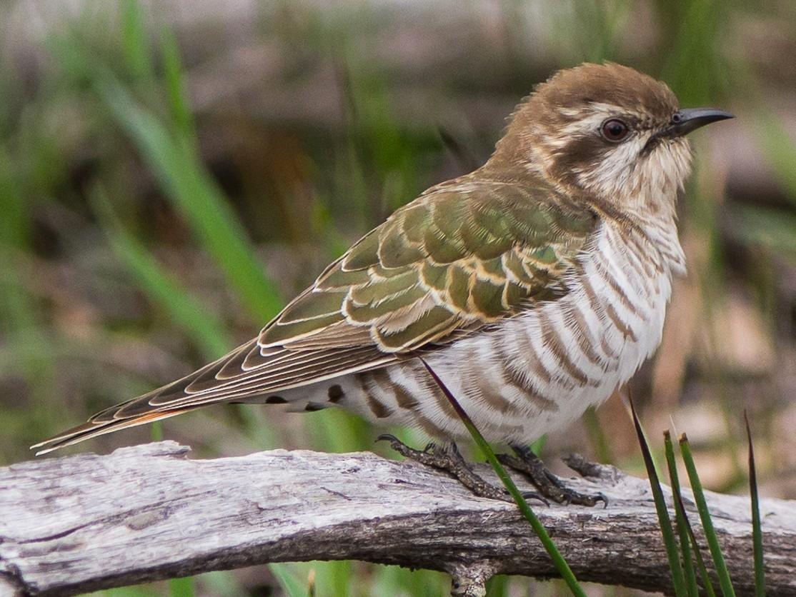 Horsfield's Bronze-Cuckoo - John  Van Doorn