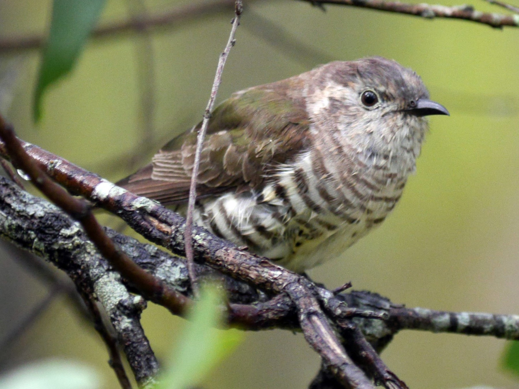 Little Bronze-Cuckoo - Frank Coman