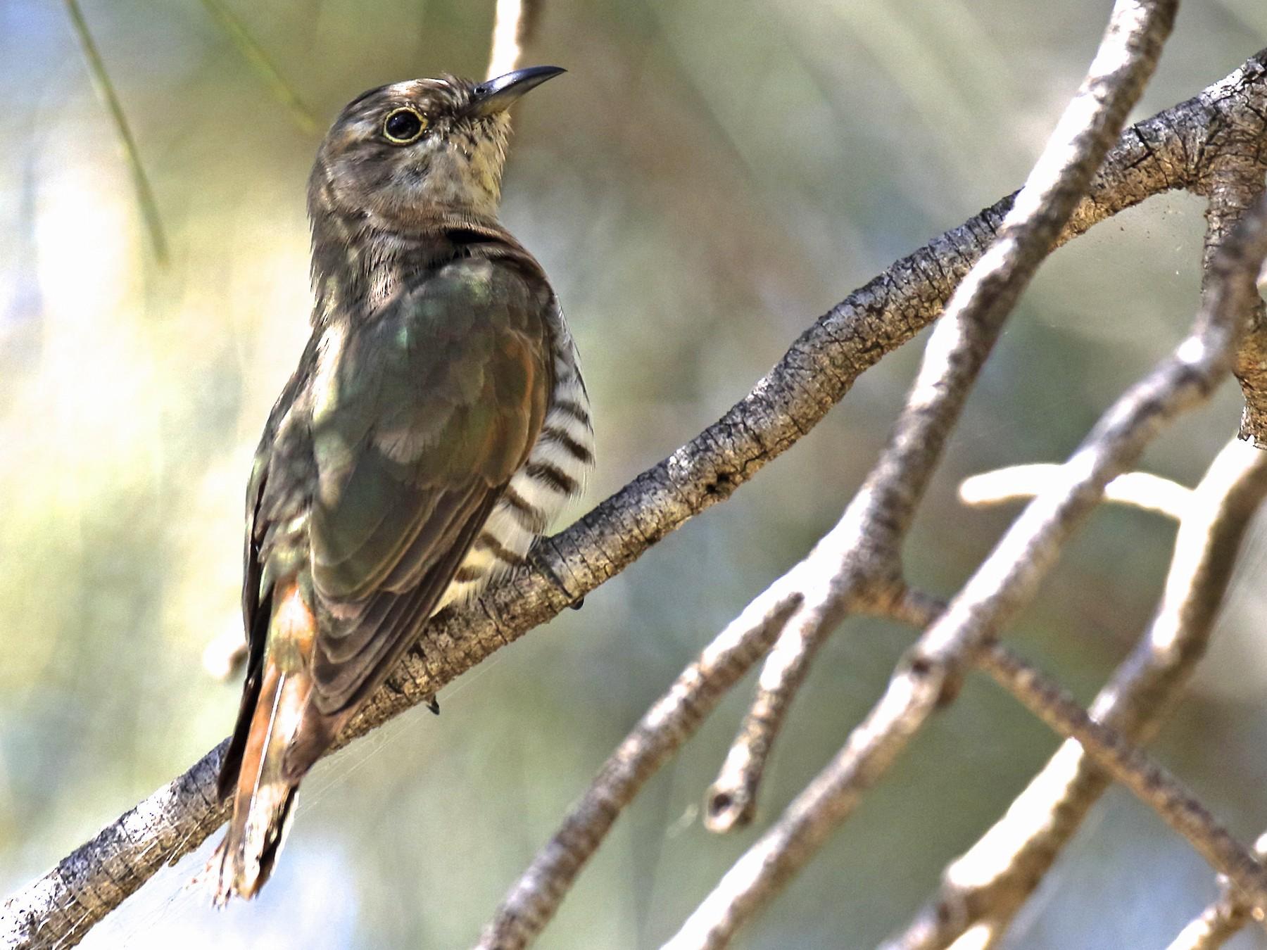 Little Bronze-Cuckoo - Chris Barnes