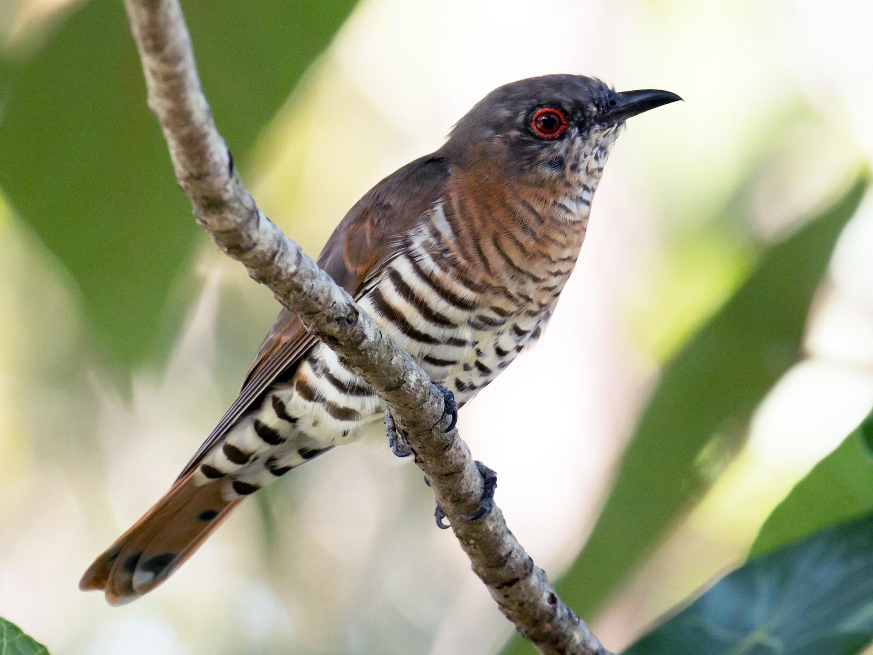 Little Bronze-Cuckoo - Mark Ayers