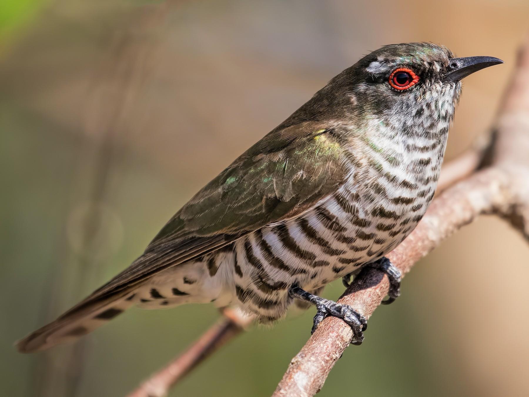 Little Bronze-Cuckoo - Julie Clark