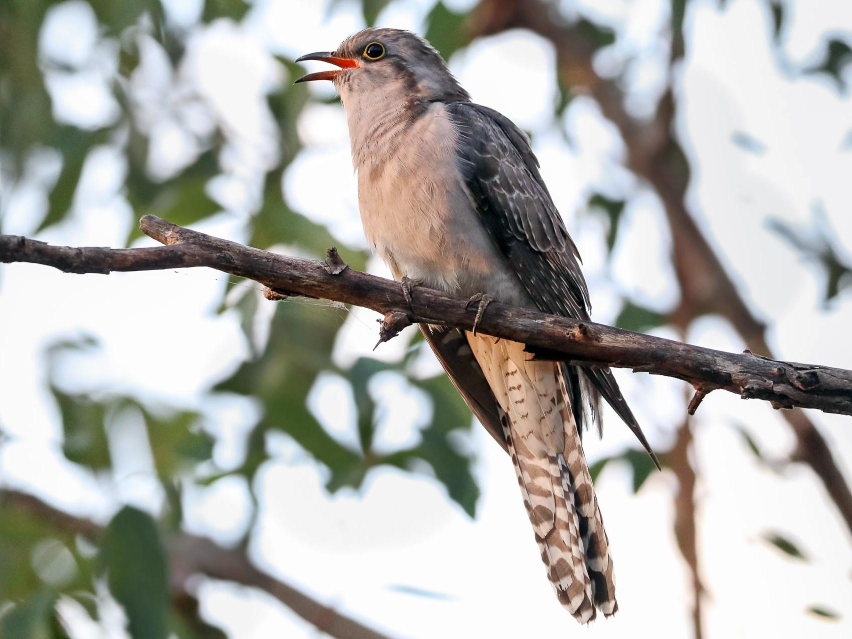 Pallid Cuckoo - Ged Tranter