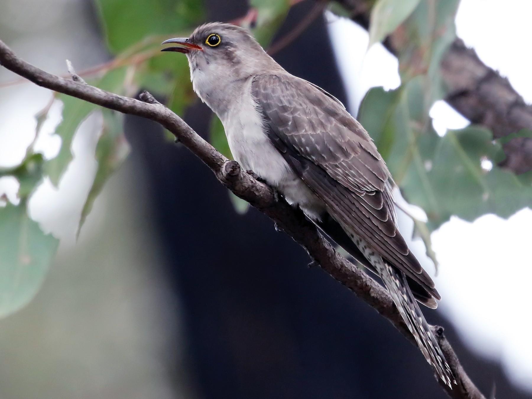 Pallid Cuckoo - David Ongley