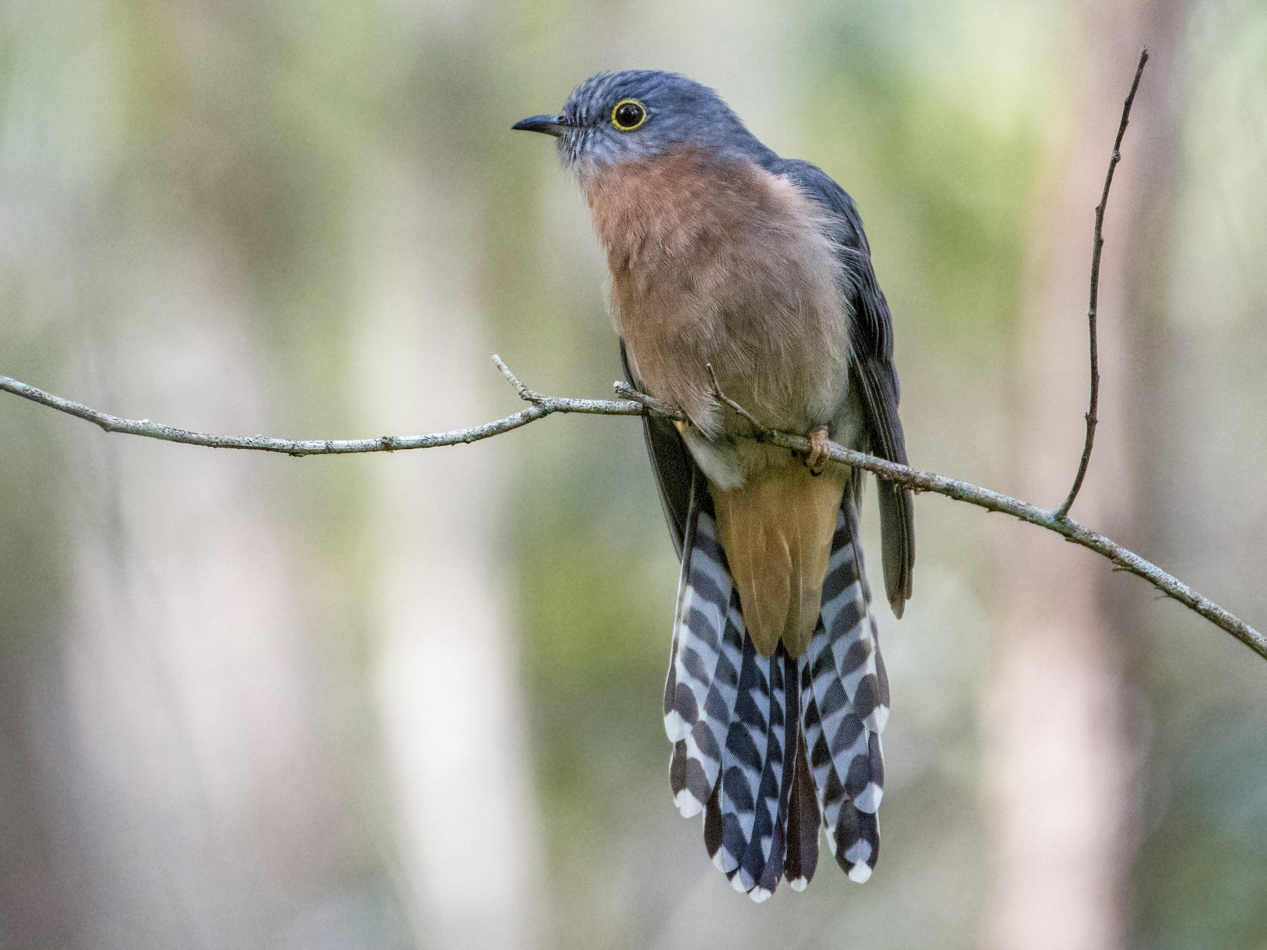 Fan-tailed Cuckoo - Lucas Brook