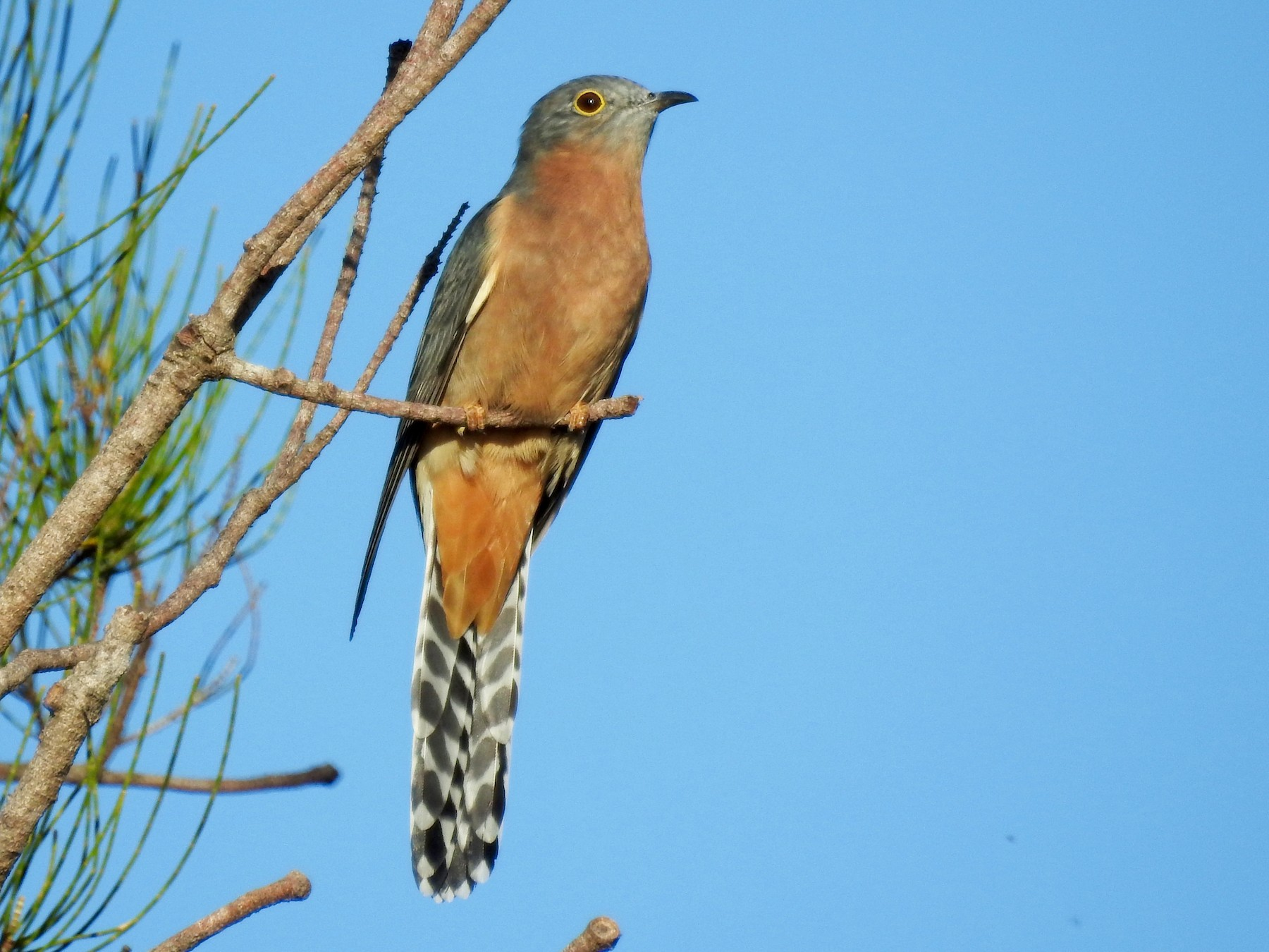 Fan-tailed Cuckoo - Michael Daley