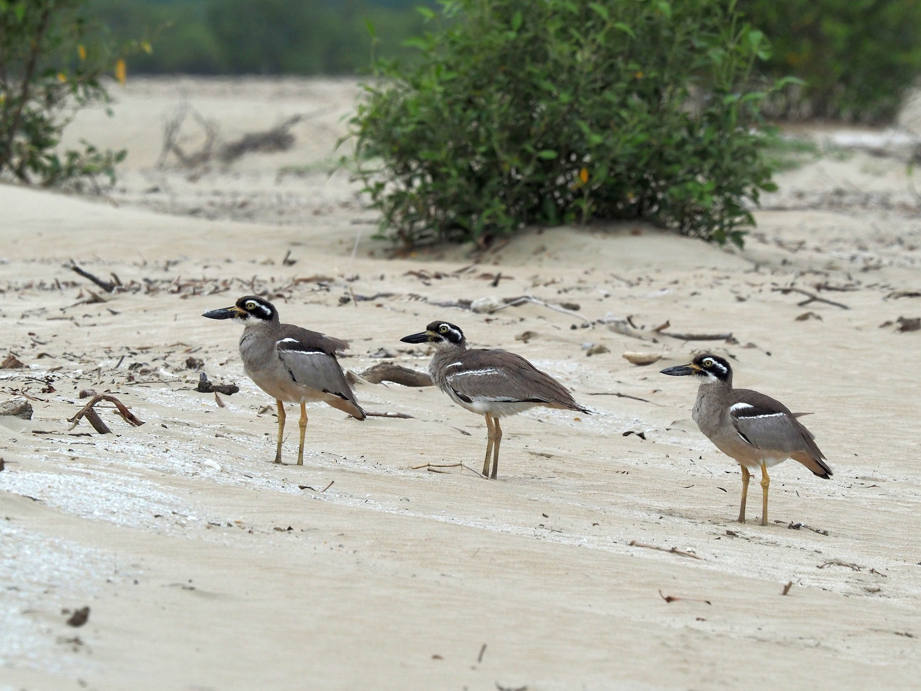 Beach Thick-knee - Len and Chris Ezzy