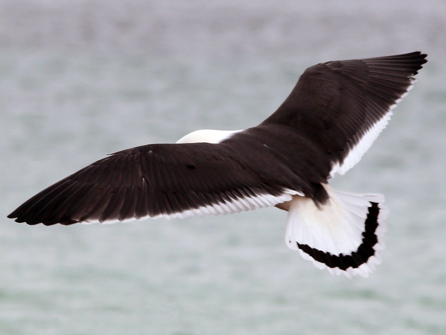 Pacific Gull - Rohan van Twest