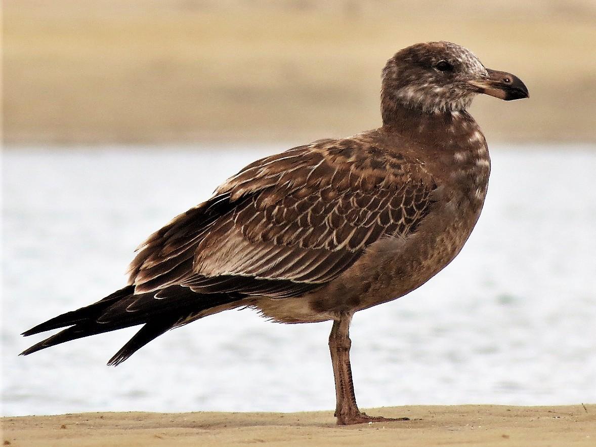 Pacific Gull - Ash Allnutt