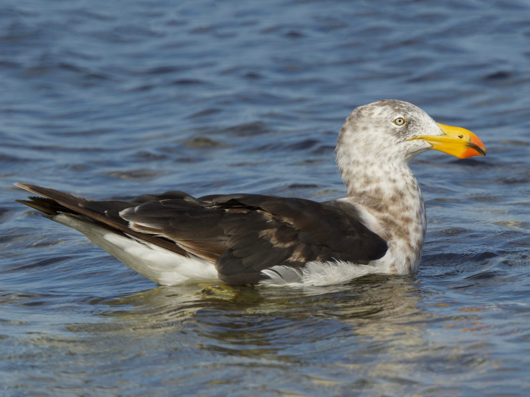 Pacific Gull - David  Tytherleigh