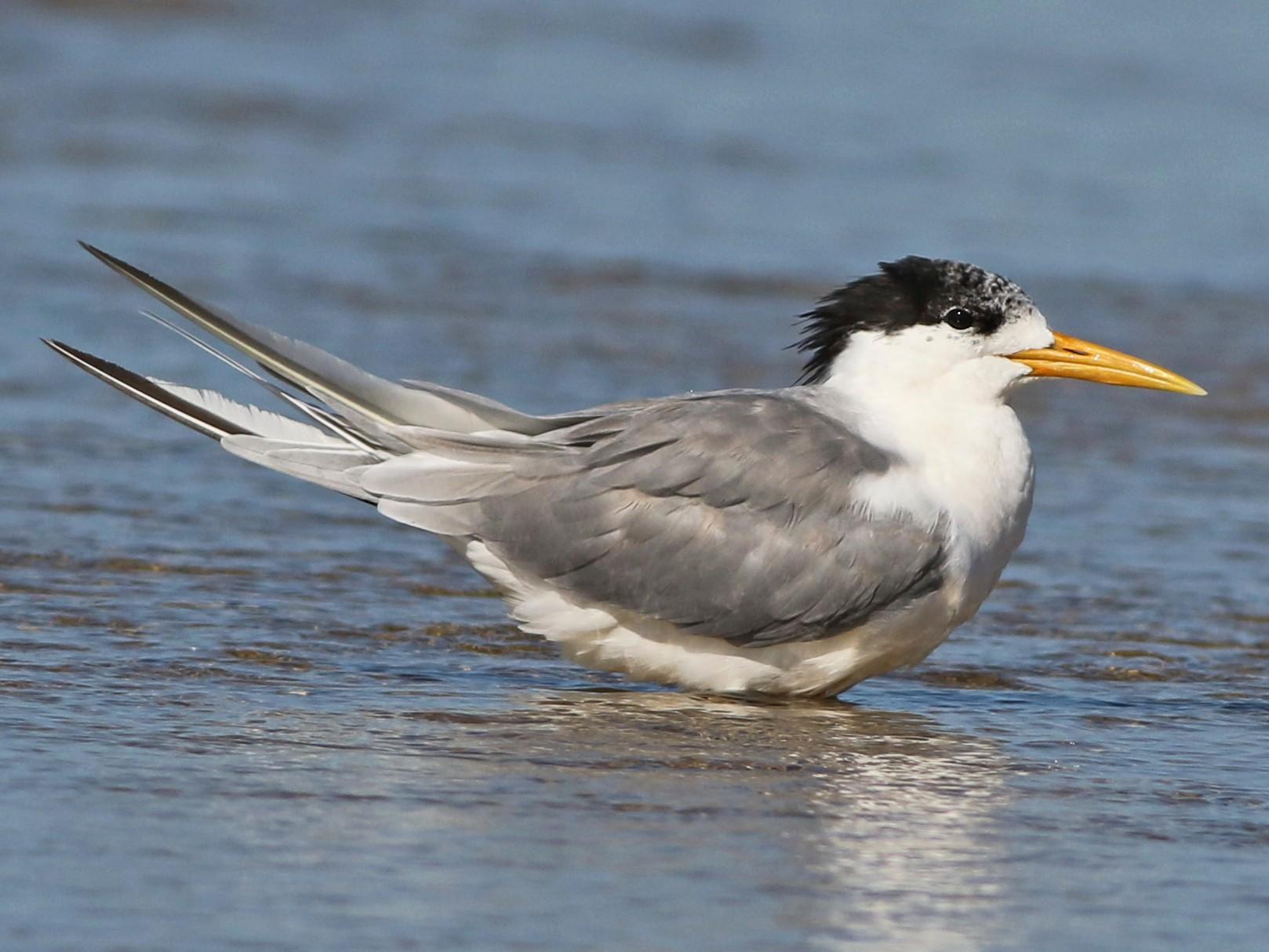 Great Crested Tern - Derek Stokes