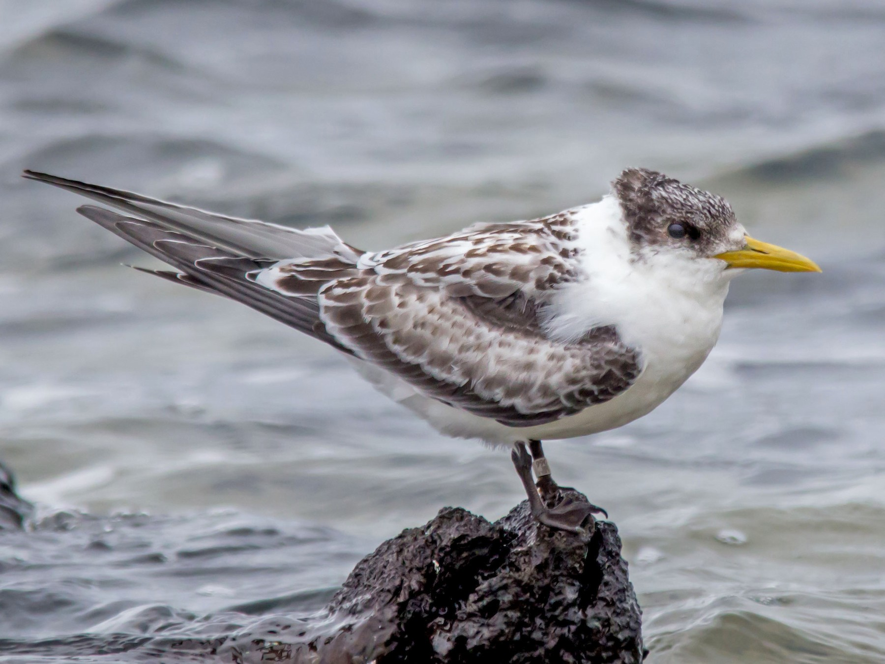 Great Crested Tern - Andrew Allen