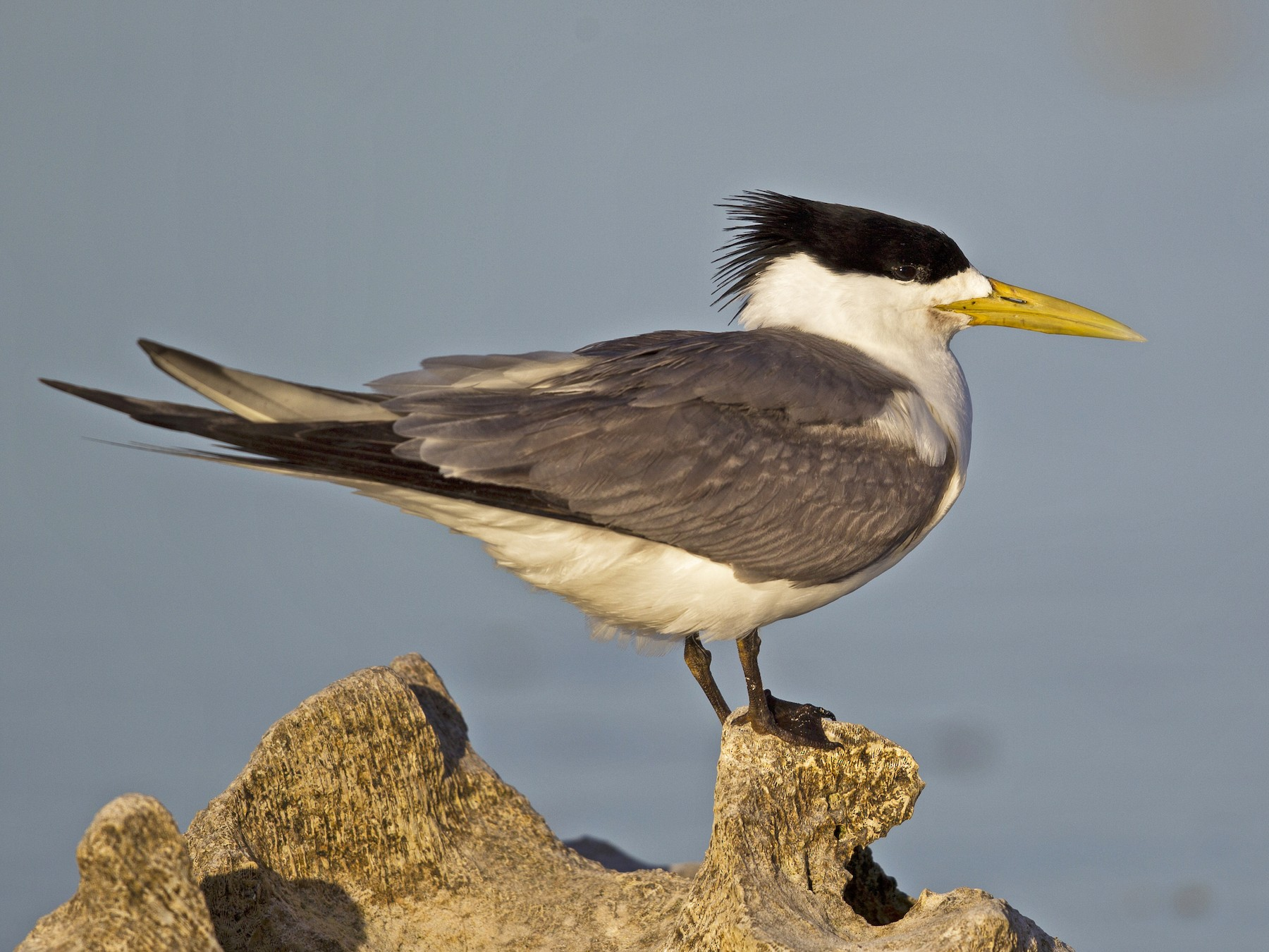 Great Crested Tern - Mat Gilfedder