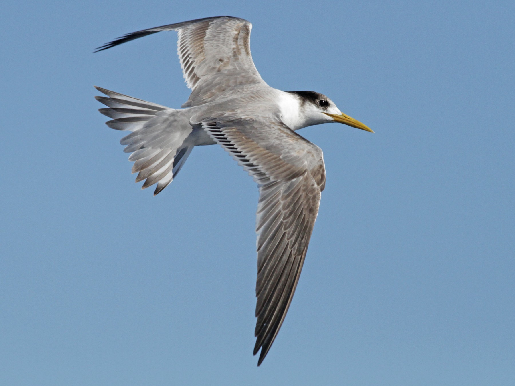 Great Crested Tern - Alex Wiebe