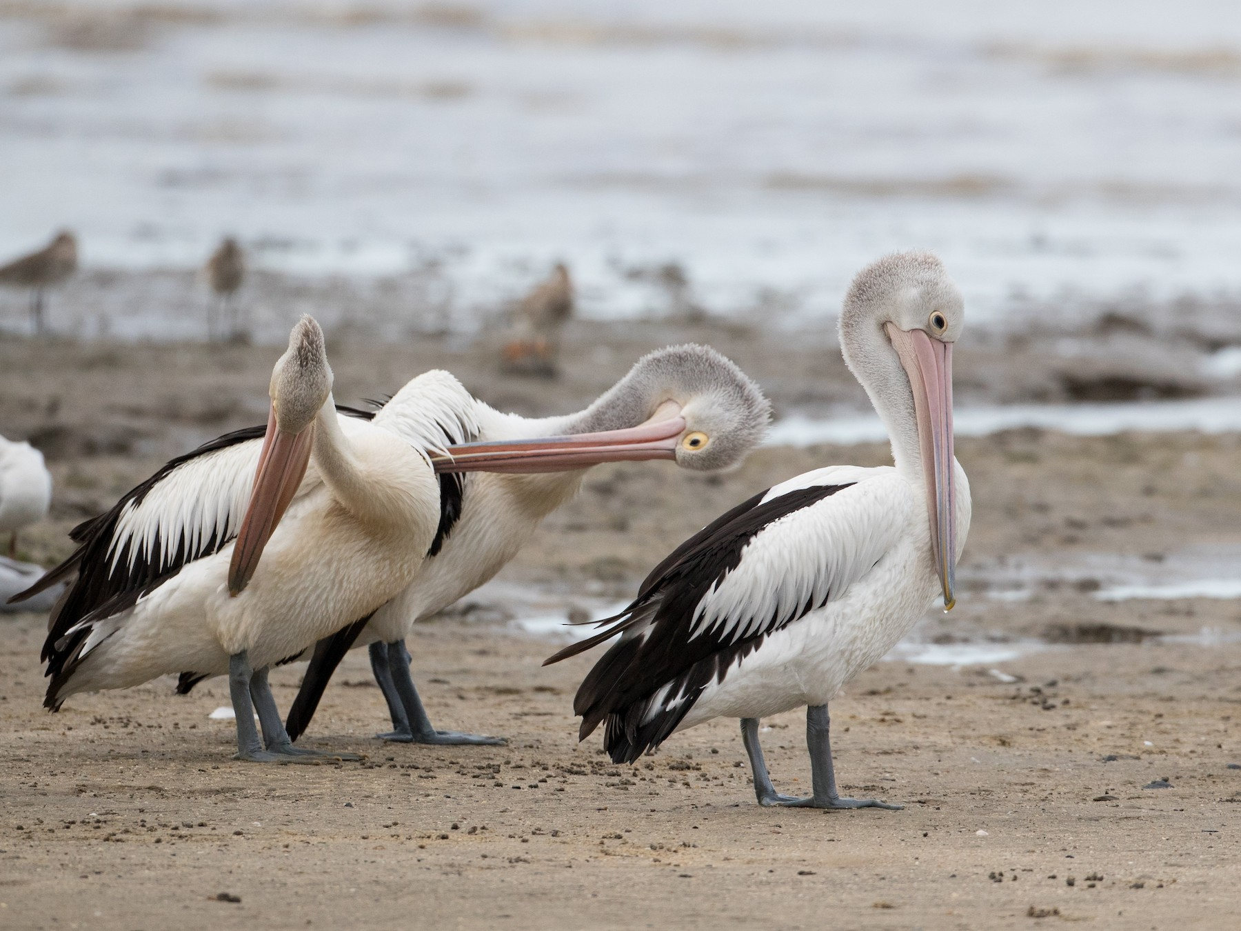 Australian Pelican - Ian Davies