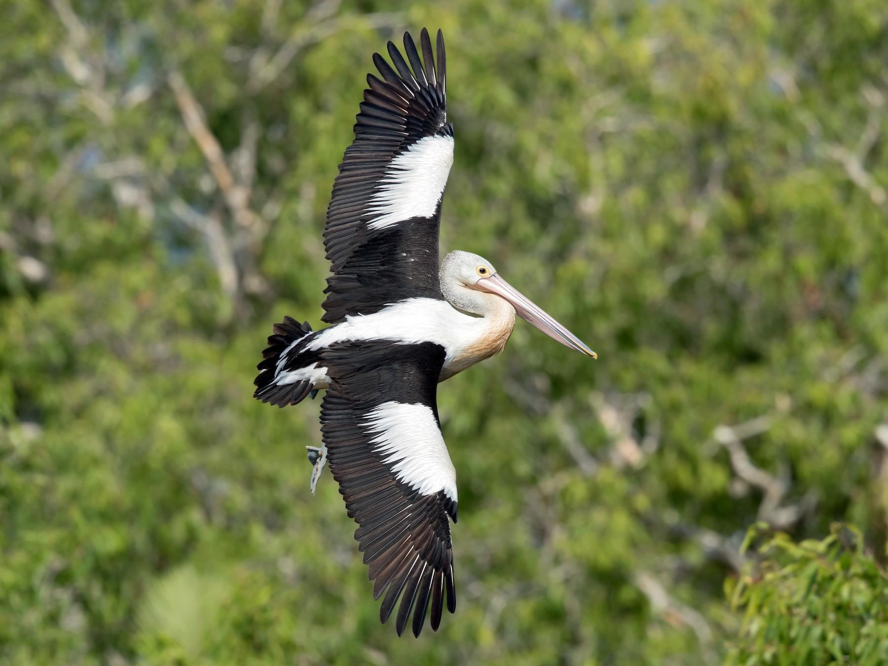 Australian Pelican - David Irving