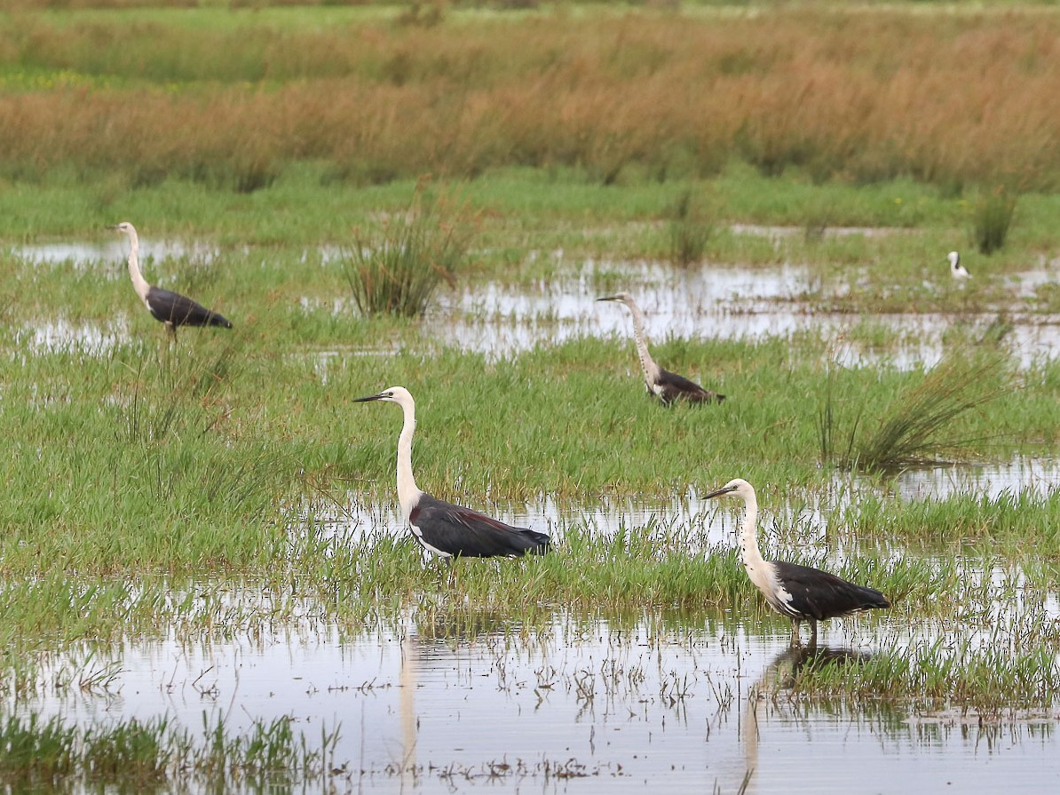 Pacific Heron - Ged Tranter