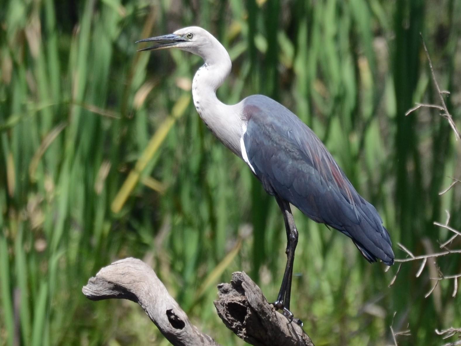 Pacific Heron - Stephen Haase