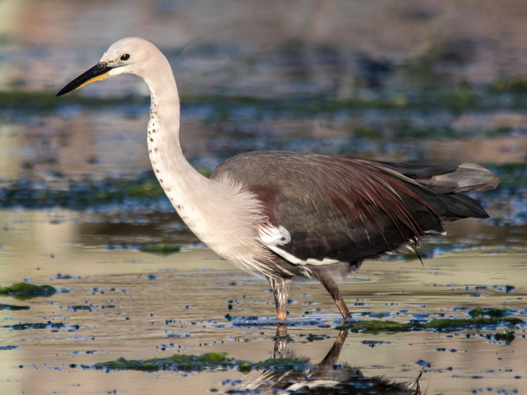 Pacific Heron - Andrew Allen