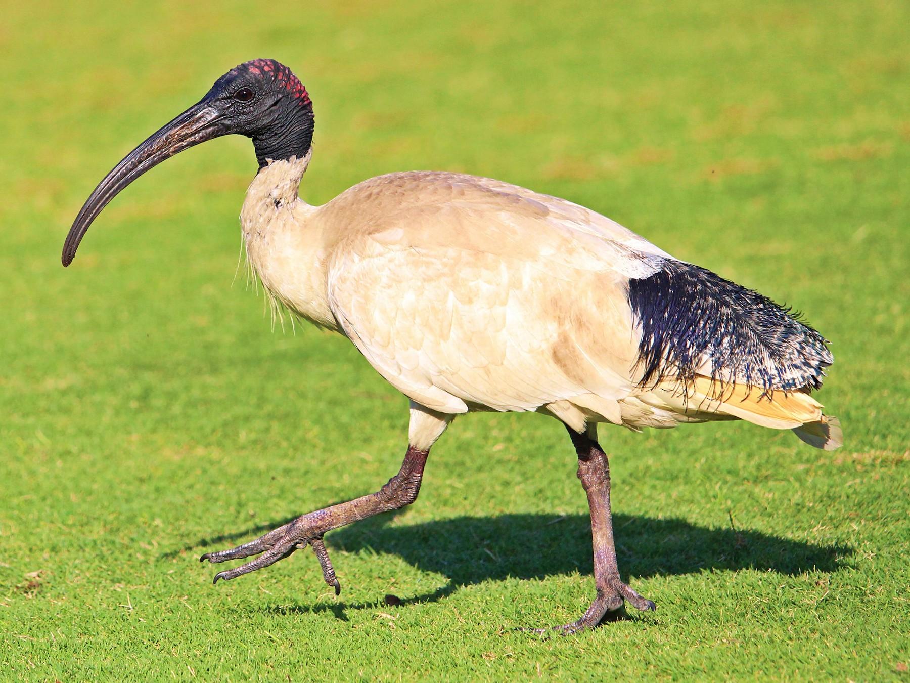 Australian Ibis - Kent Warner