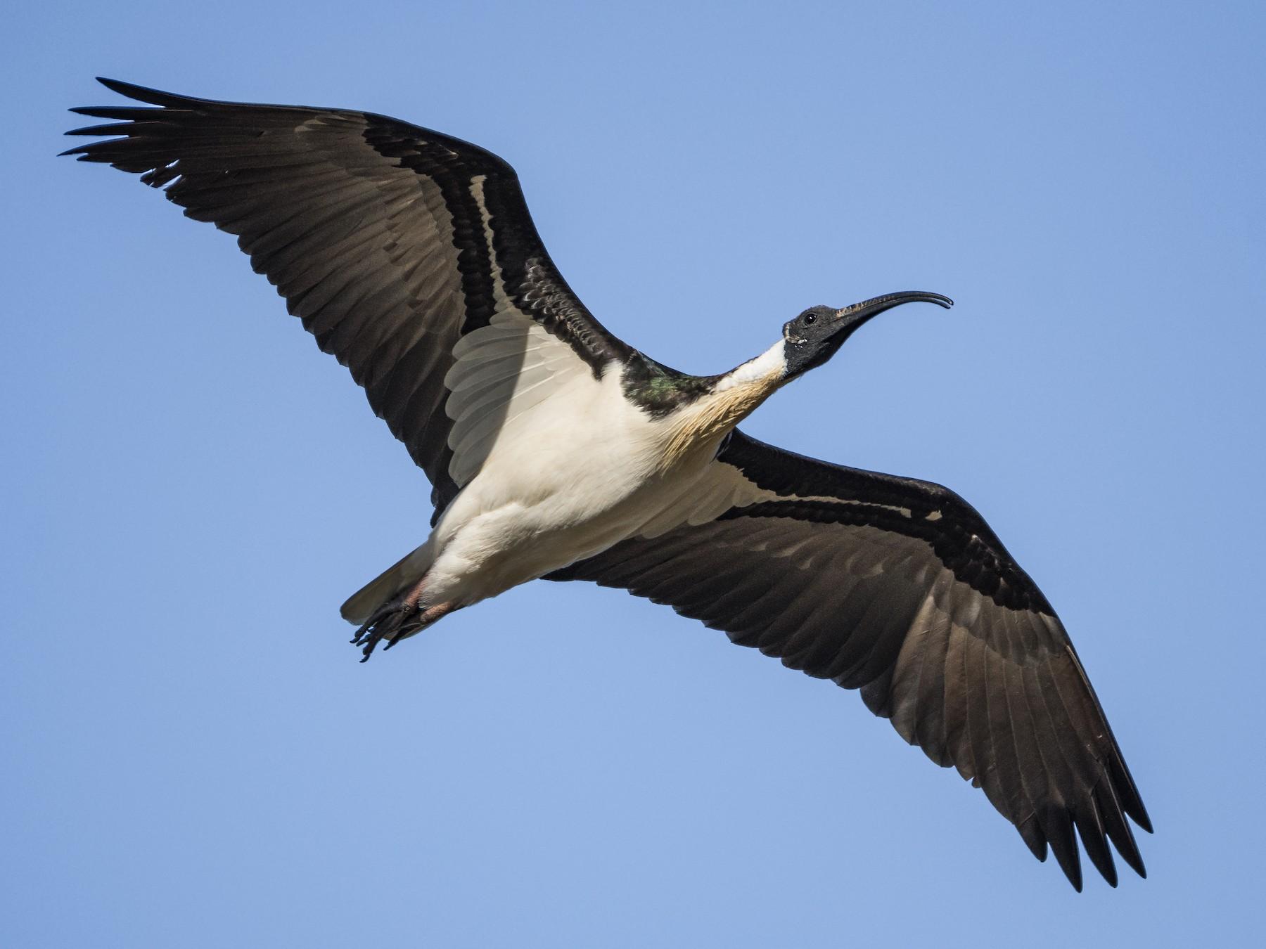 Straw-necked Ibis - Lucas Brook