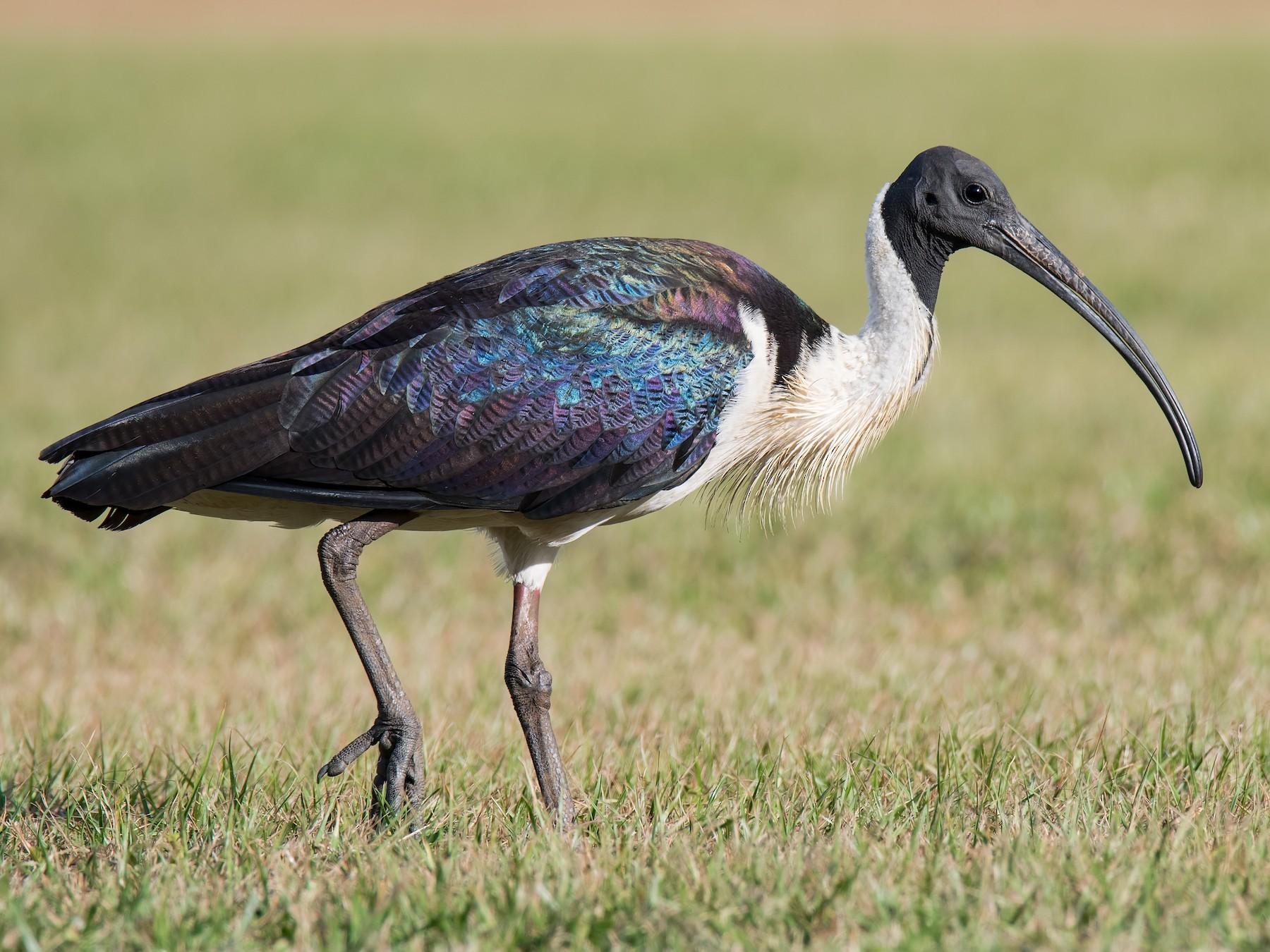 Straw-necked Ibis - Hayley Alexander