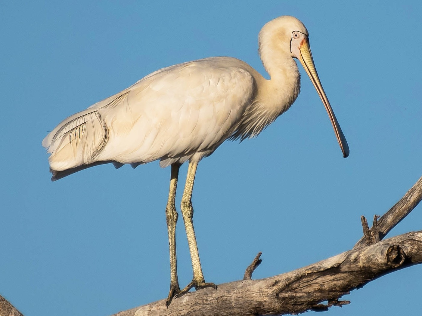 Yellow-billed Spoonbill - Terence Alexander