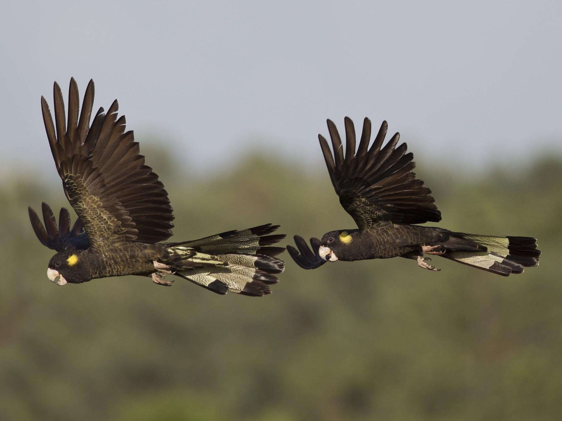 Yellow-tailed Black-Cockatoo - Mat Gilfedder