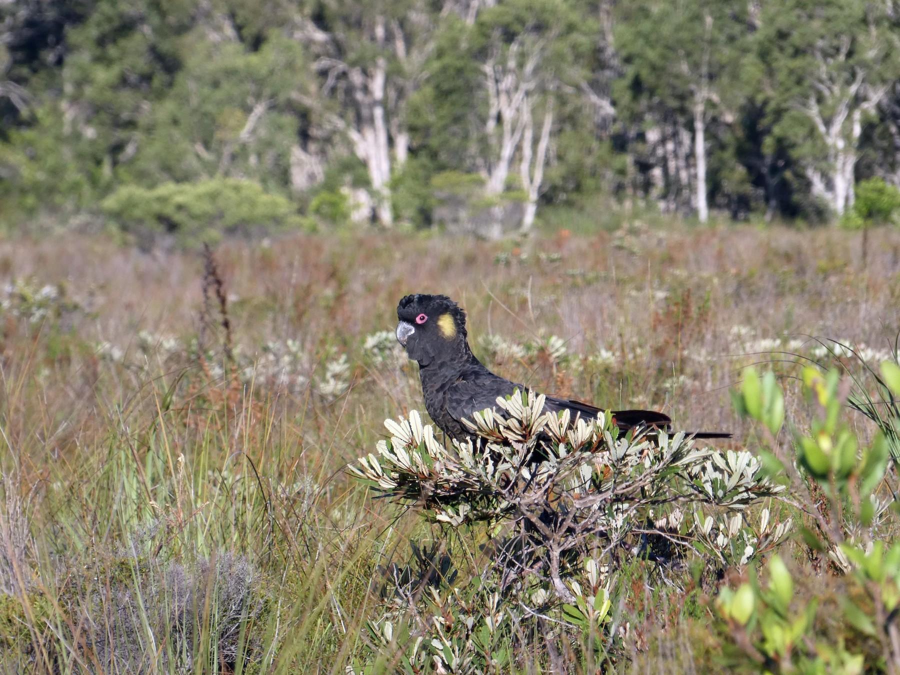 Yellow-tailed Black-Cockatoo - Nick Lambert