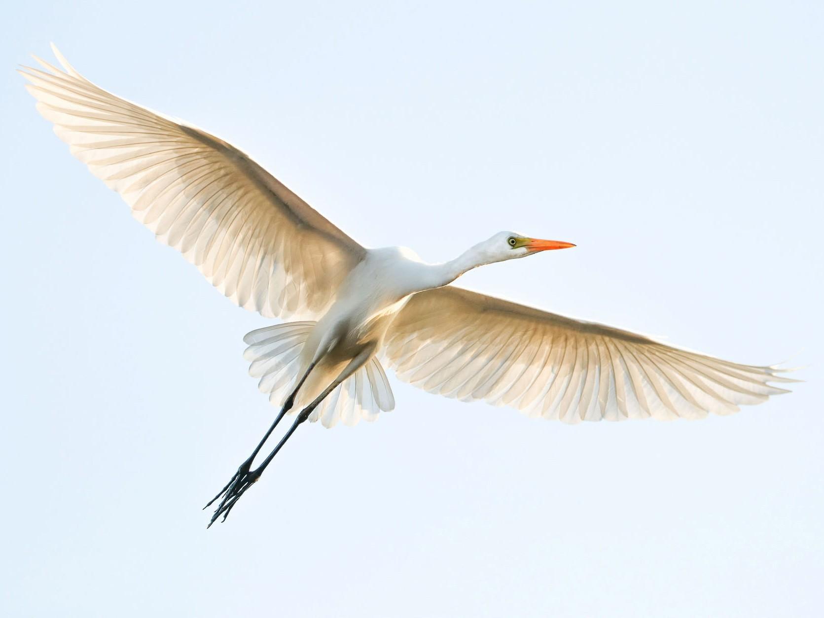 Intermediate Egret - Ged Tranter