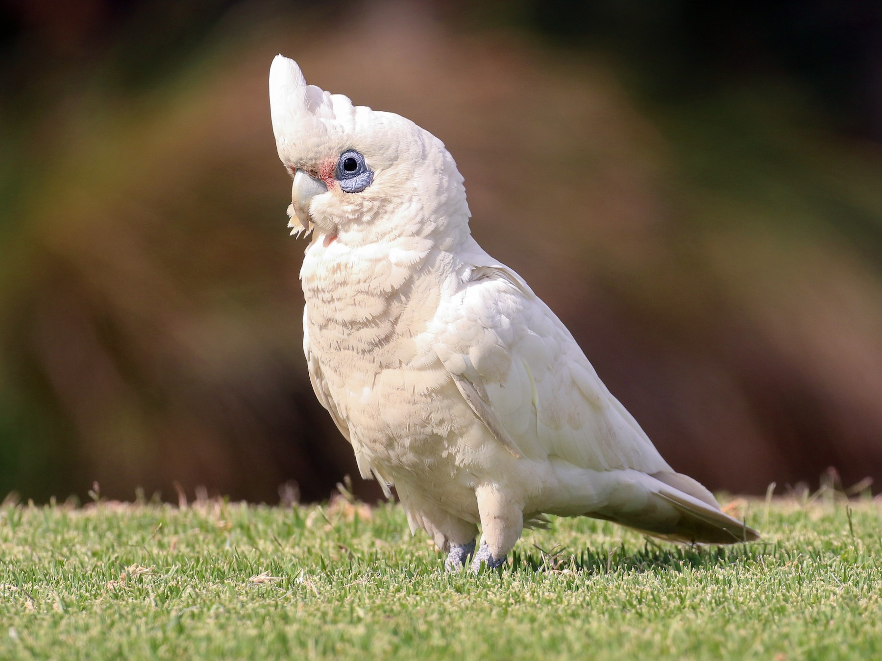 Little Corella - Tommy Pedersen