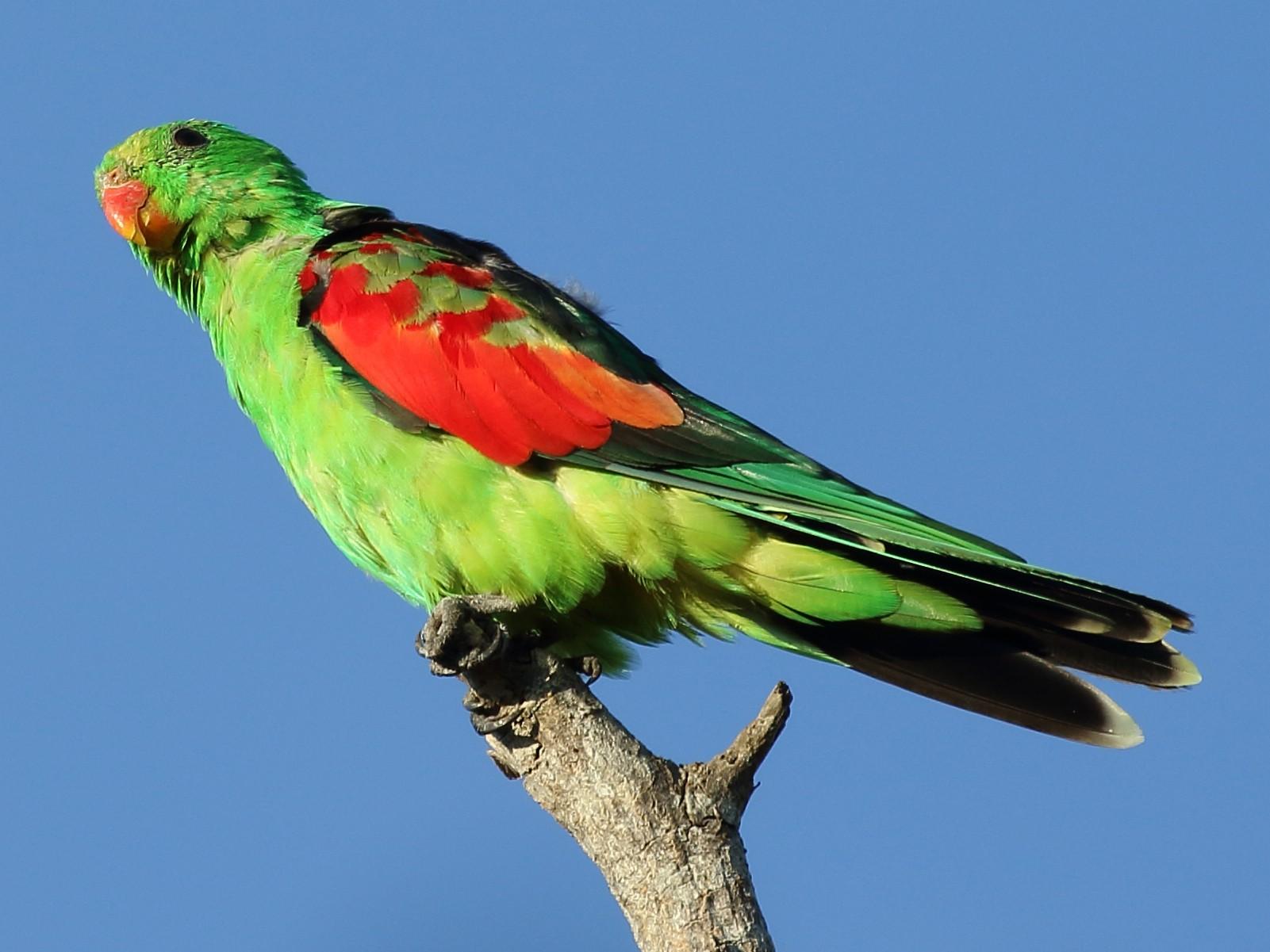 Red-winged Parrot - Michael Rutkowski