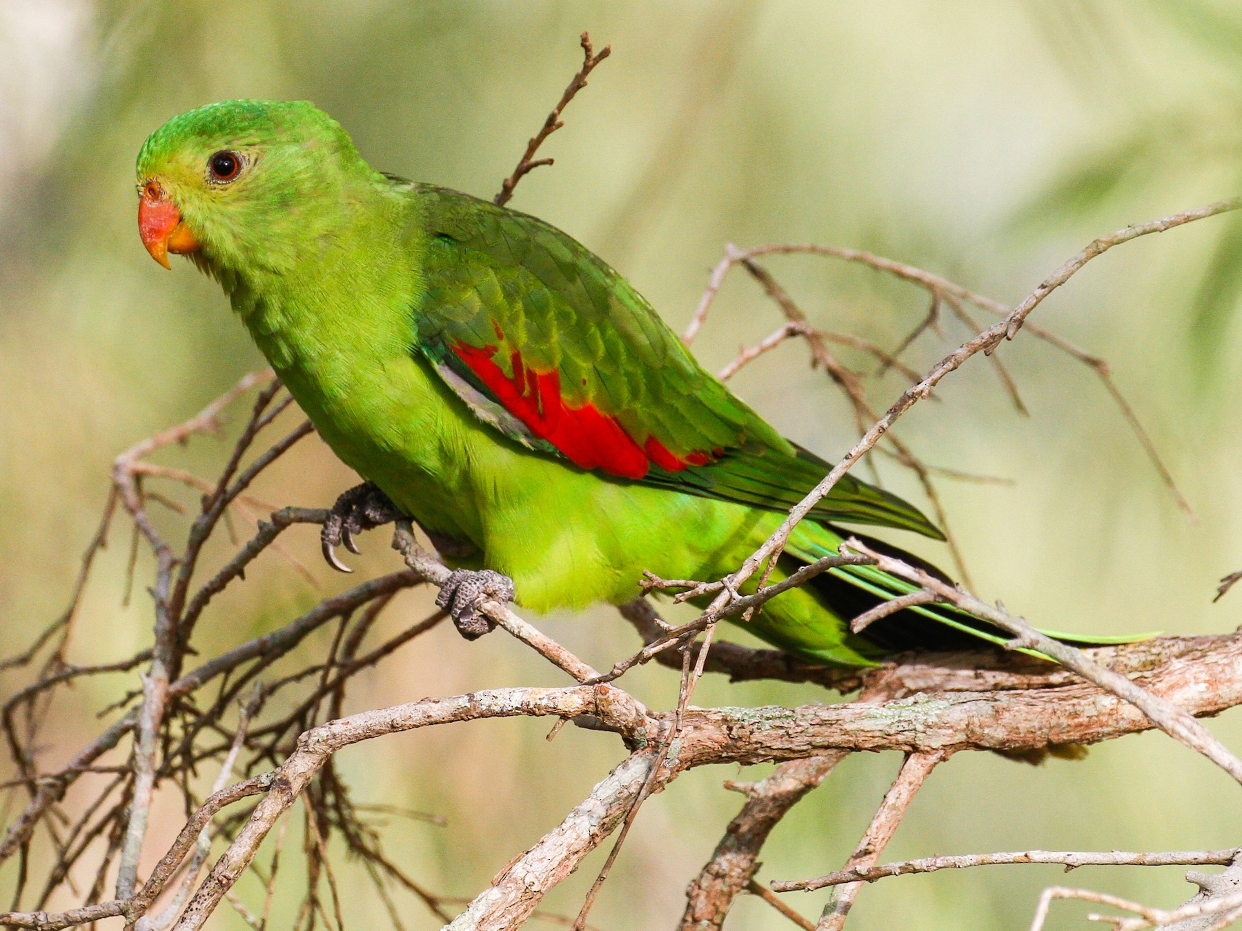 Red-winged Parrot - James Kennerley 🦄