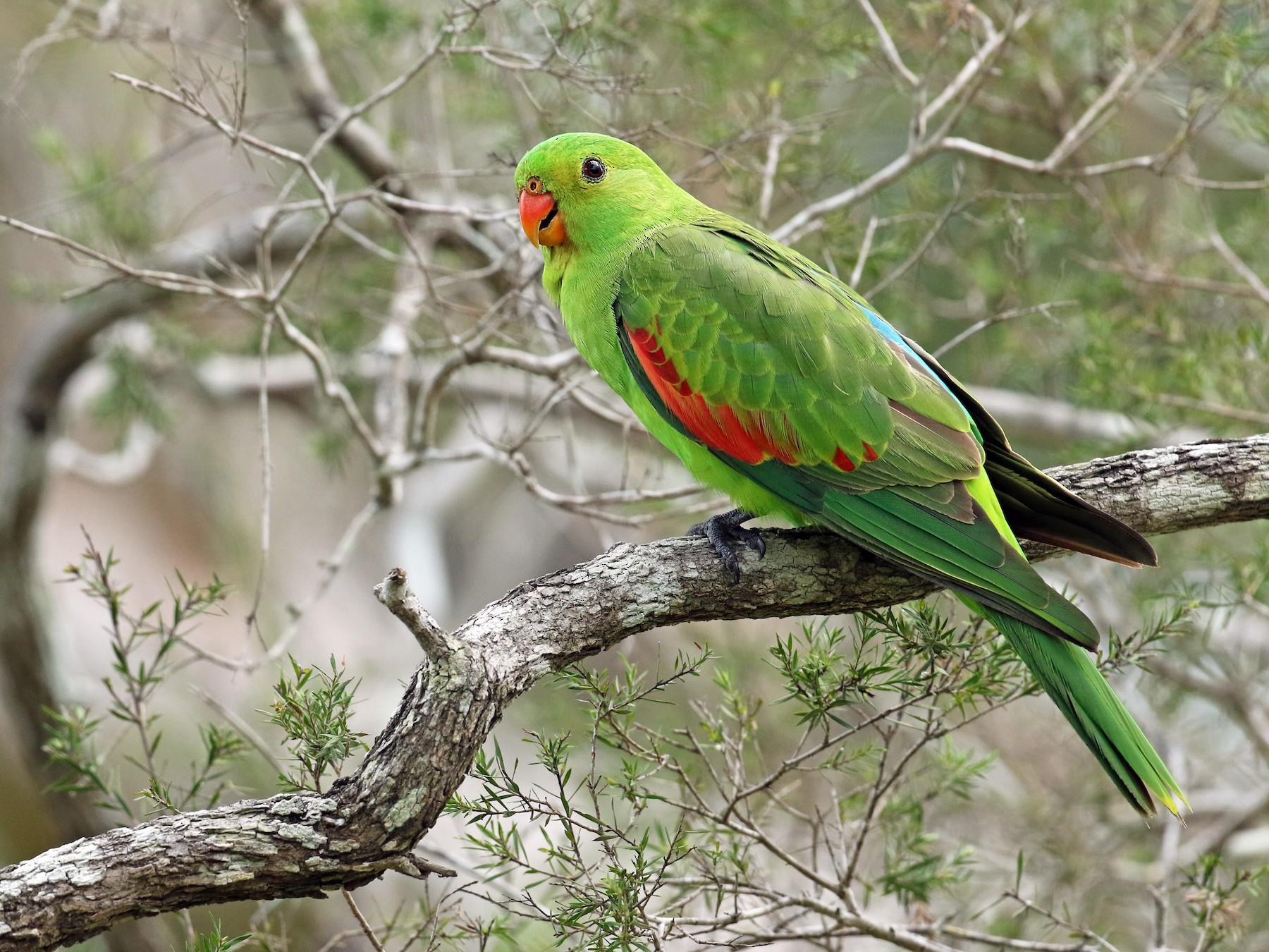 Red-winged Parrot - Luke Seitz