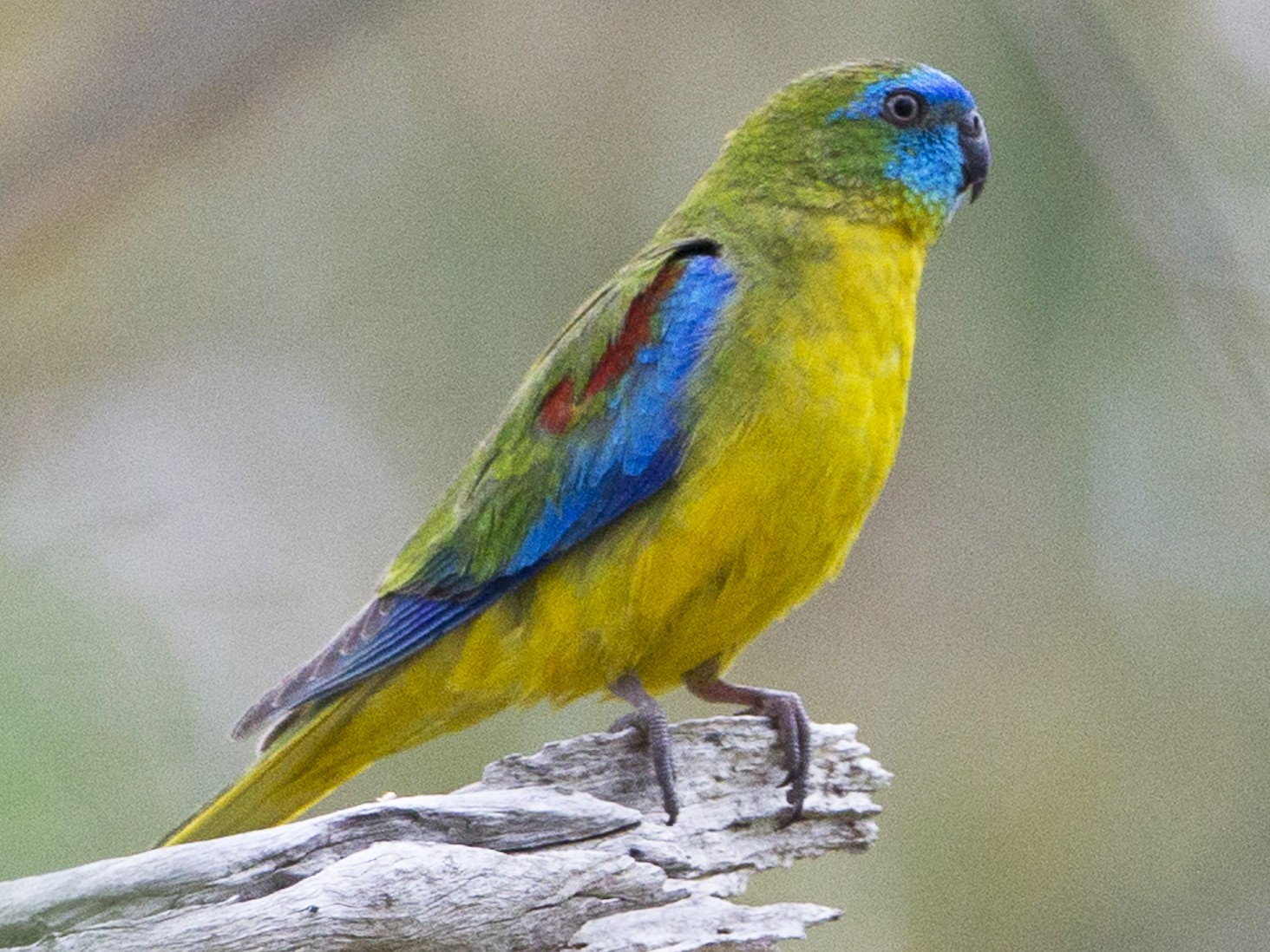 Turquoise Parrot - Brian Sullivan