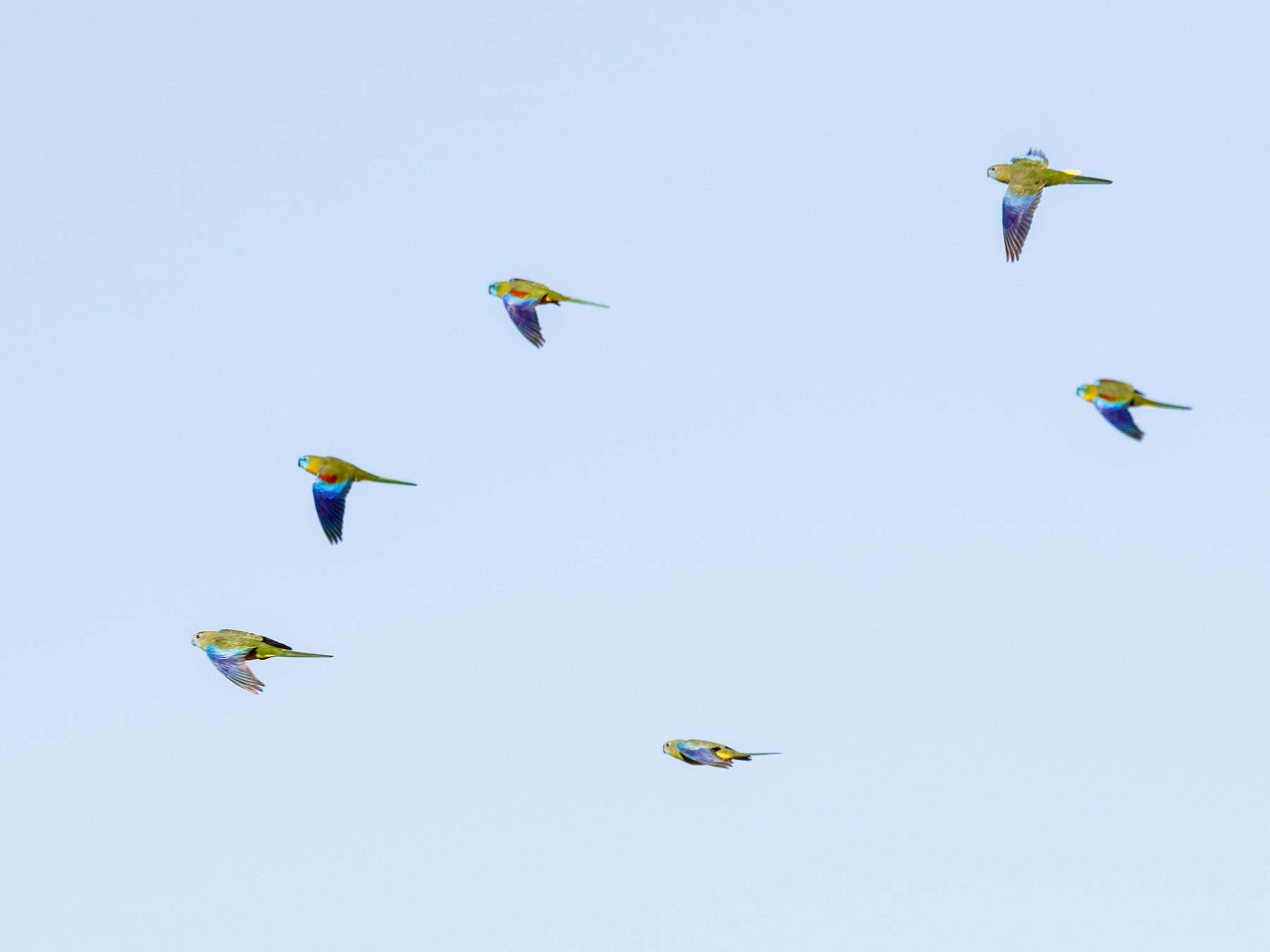 Turquoise Parrot - Steven Pratt