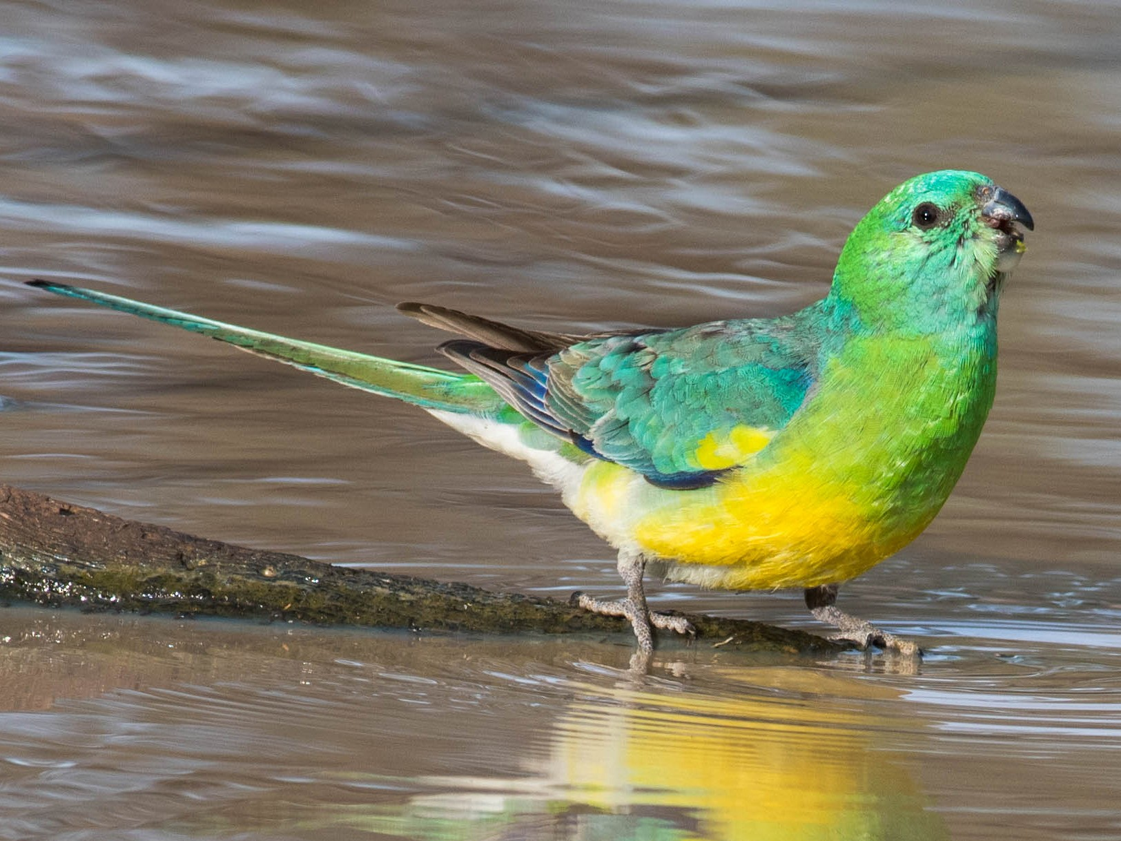 Red-rumped Parrot - Peter Taylor