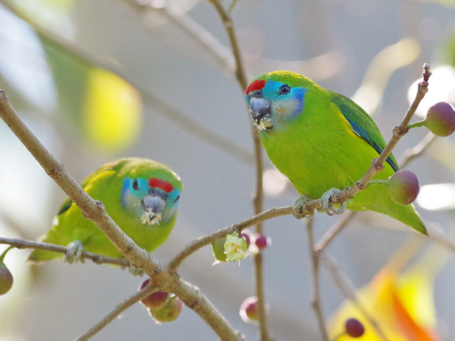 Double-eyed Fig-Parrot - Thibaud Aronson
