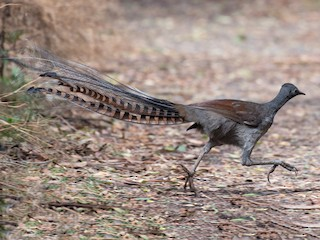 - Superb Lyrebird