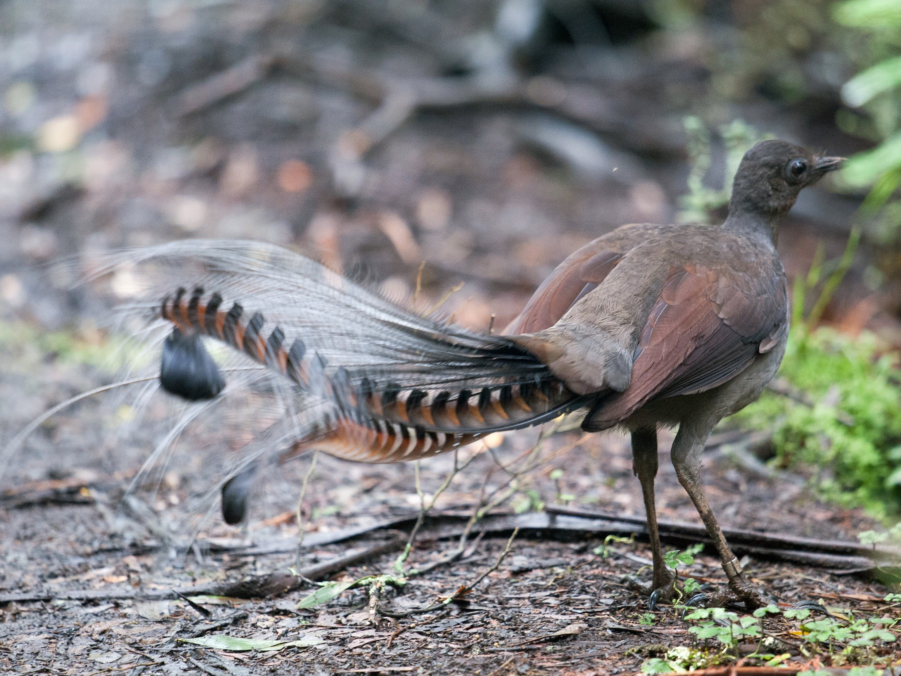 Superb Lyrebird - John Daniels