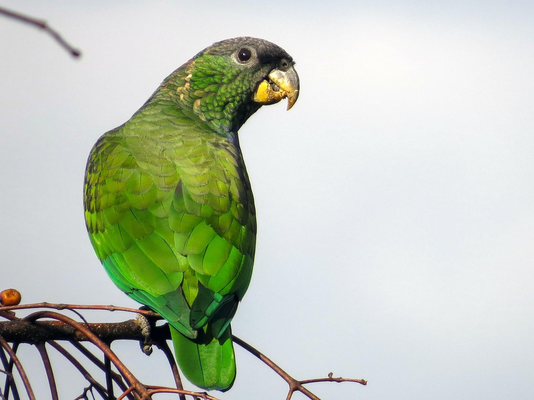 Scaly-headed Parrot - MARCELO JARDIM